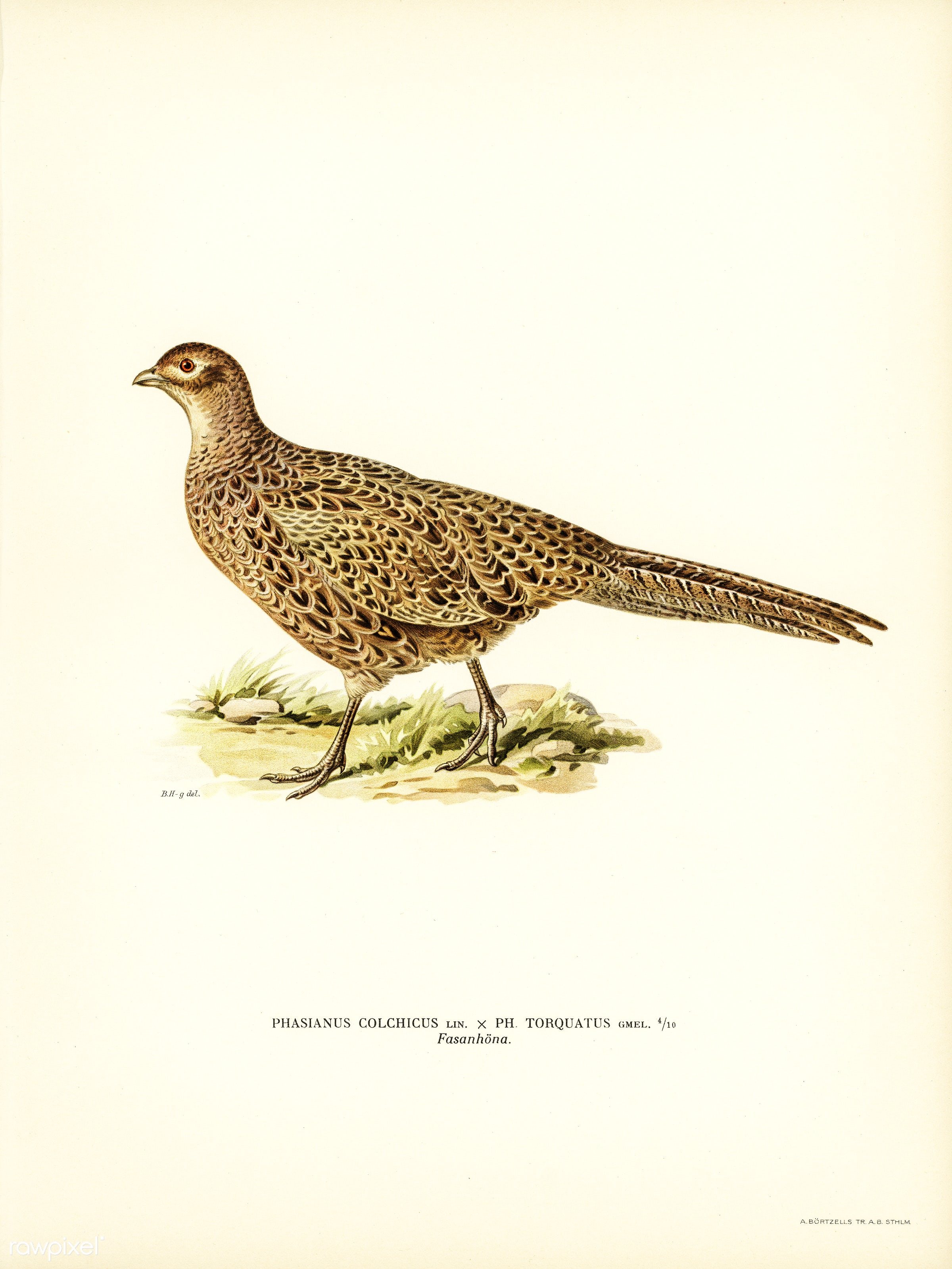 Pheasant (Phasianus Colchicus) illustrated by the von Wright brothers. Digitally enhanced from our own 1929 folio version of...