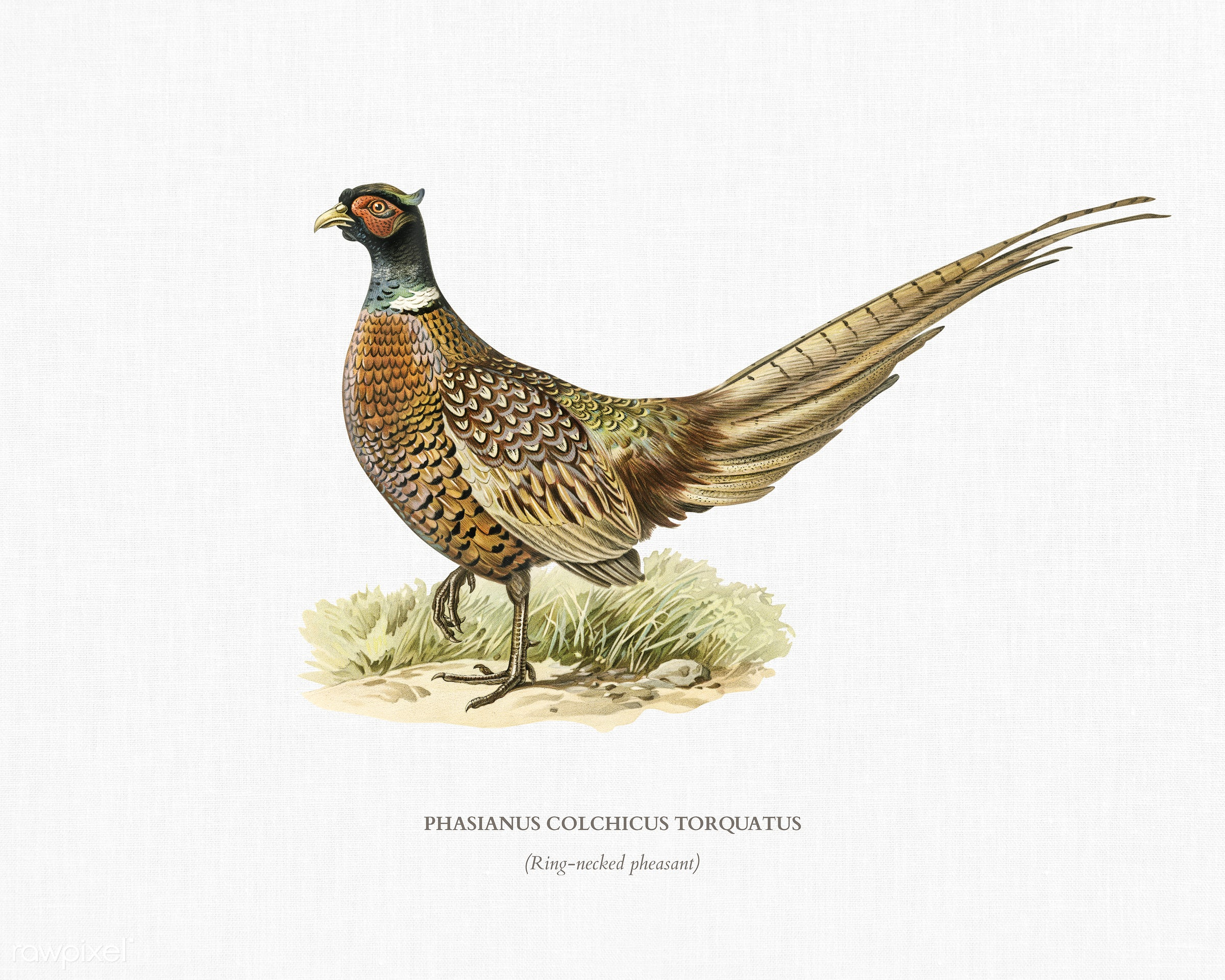 Ring-necked Pheasant (phasianus colchicus torquatus) illustrated by the von Wright brothers. Digitally enhanced from our own...