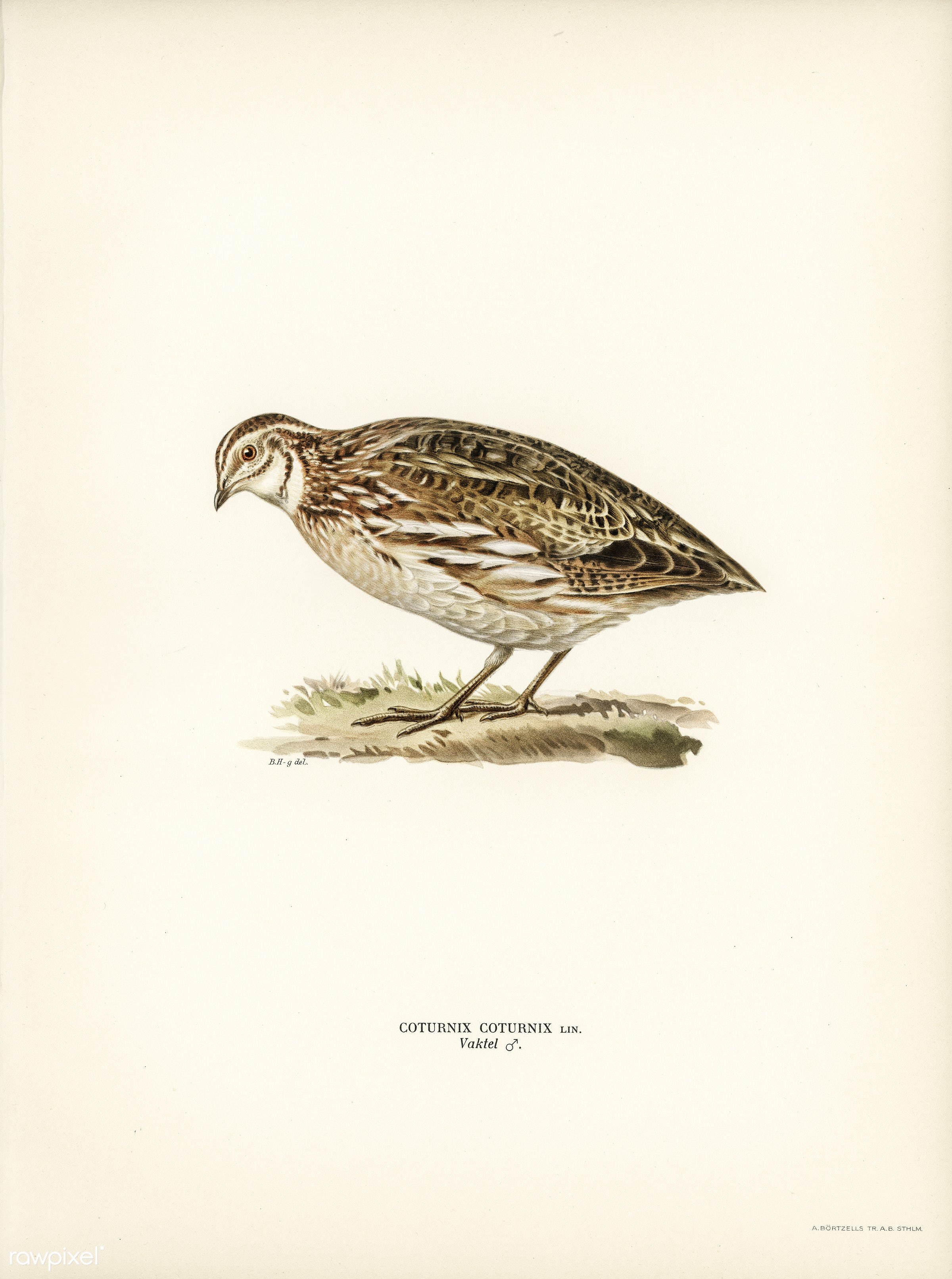 Common quail (Coturnix coturnix) illustrated by the von Wright brothers. Digitally enhanced from our own 1929 folio version...