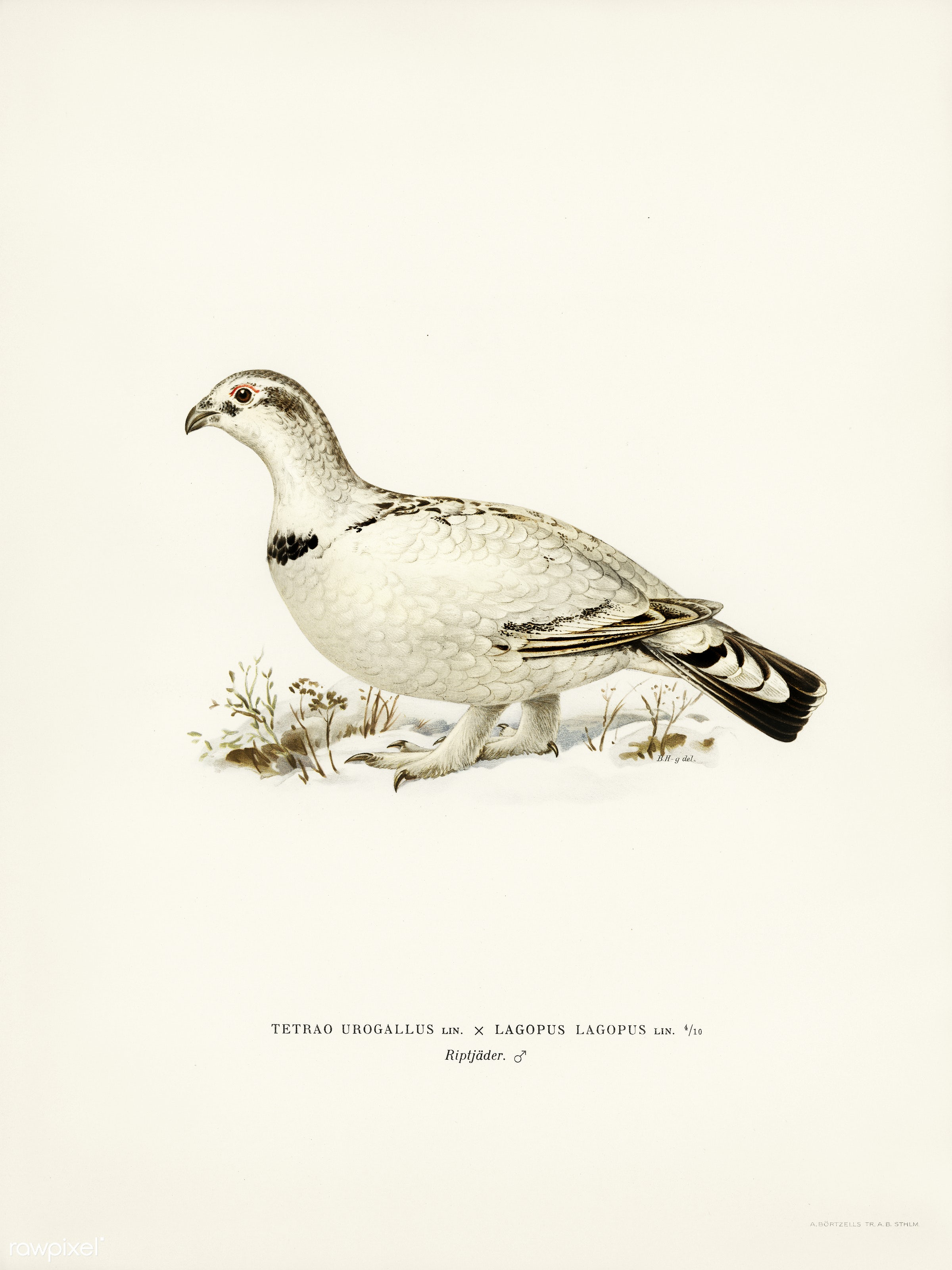 Hybrid between Western capercaillie and Willow ptarmigan (Tetrao urogallus x lagopus lagopus) illustrated by the von Wright...