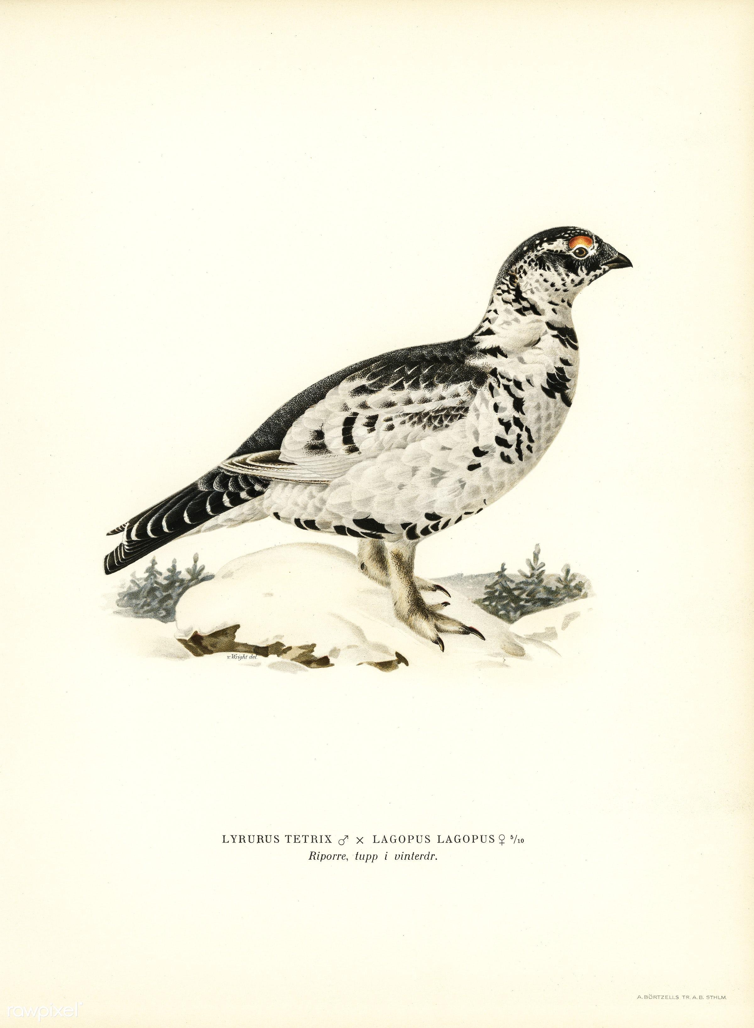 Hybrid between Black grouse and Willow ptarmigan (Lyrurus tetrix ♂ x lagopus lagopus ♀) illustrated by the von Wright...