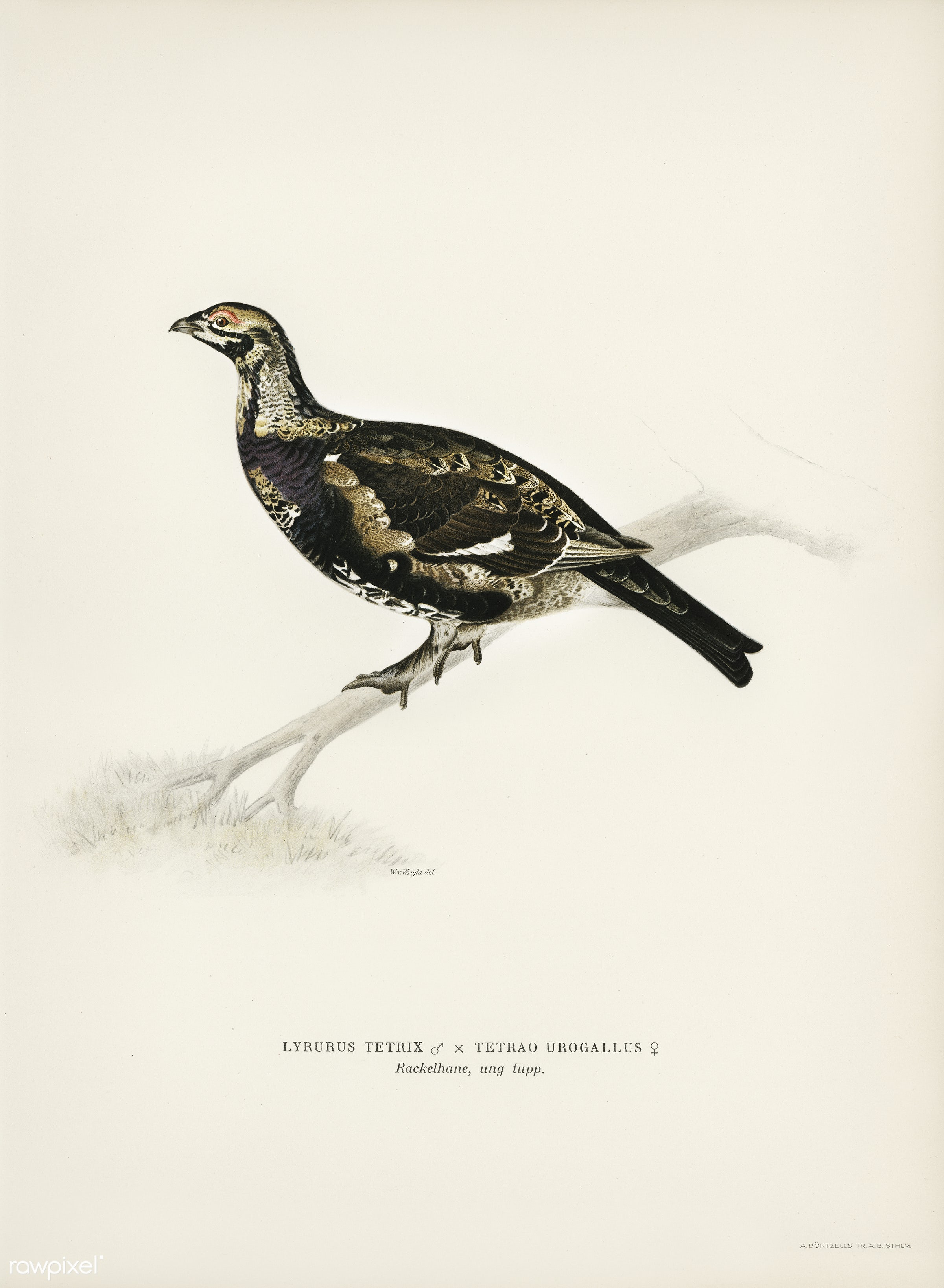 Hybrid between Black grouse and Willow ptarmigan (Yrurus tetrix x lagopus lagopus) illustrated by the von Wright brothers....