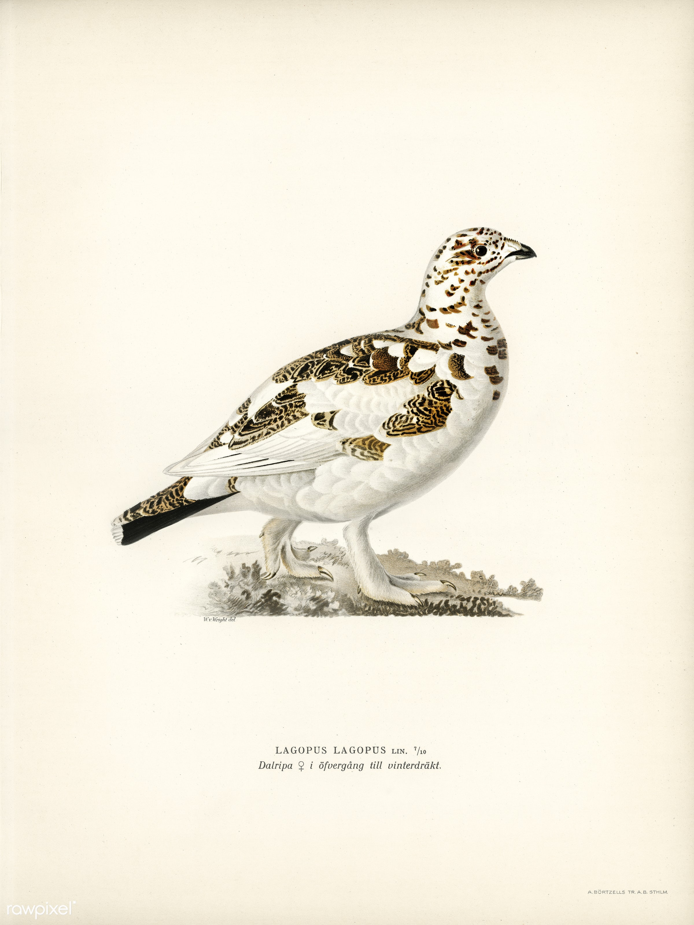 Willow ptarmigan (Lagopus lagopus ) illustrated by the von Wright brothers. Digitally enhanced from our own 1929 folio...