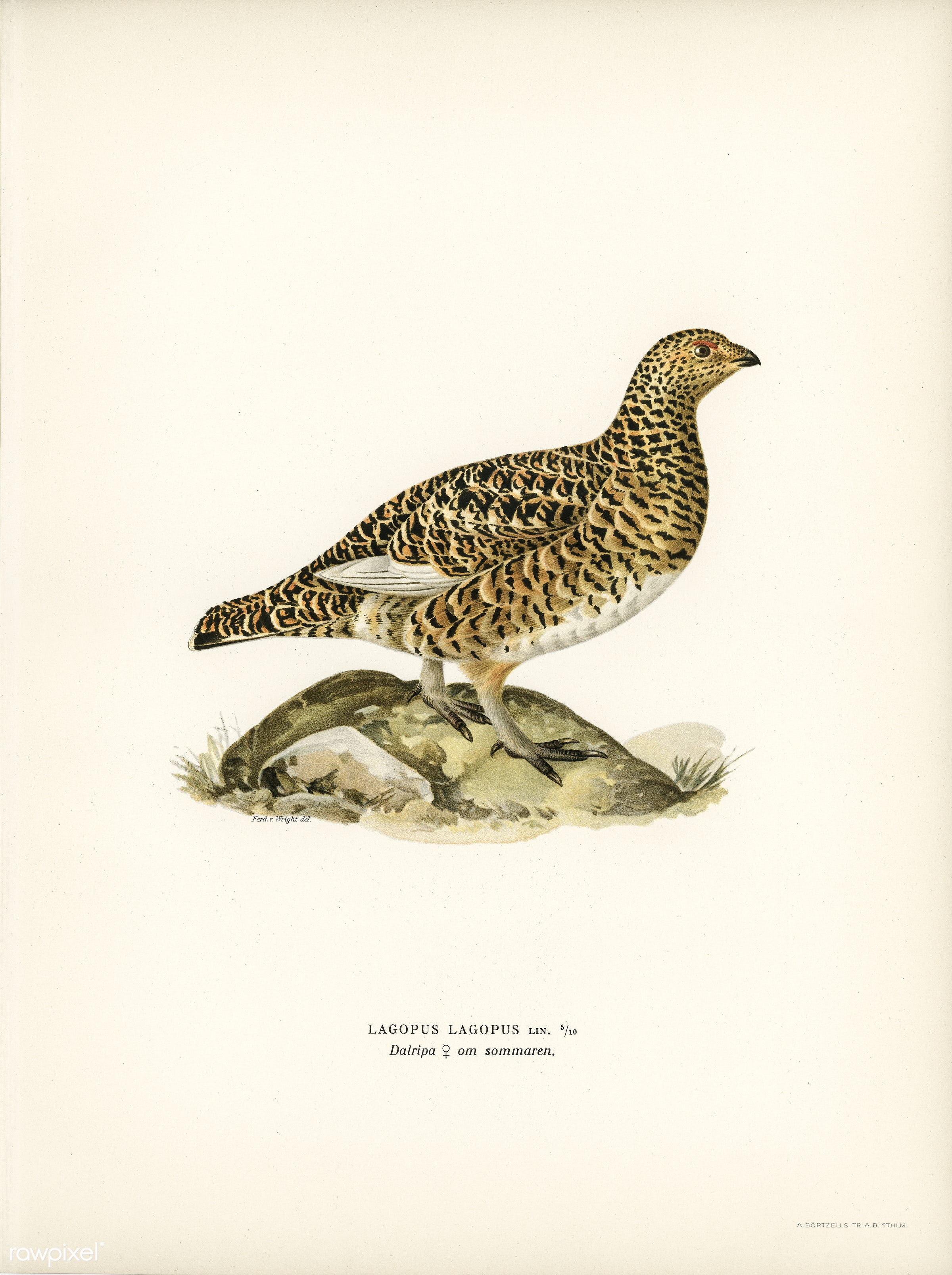 Willow ptarmigan female (Lagopus lagoups) illustrated by the von Wright brothers. Digitally enhanced from our own 1929 folio...