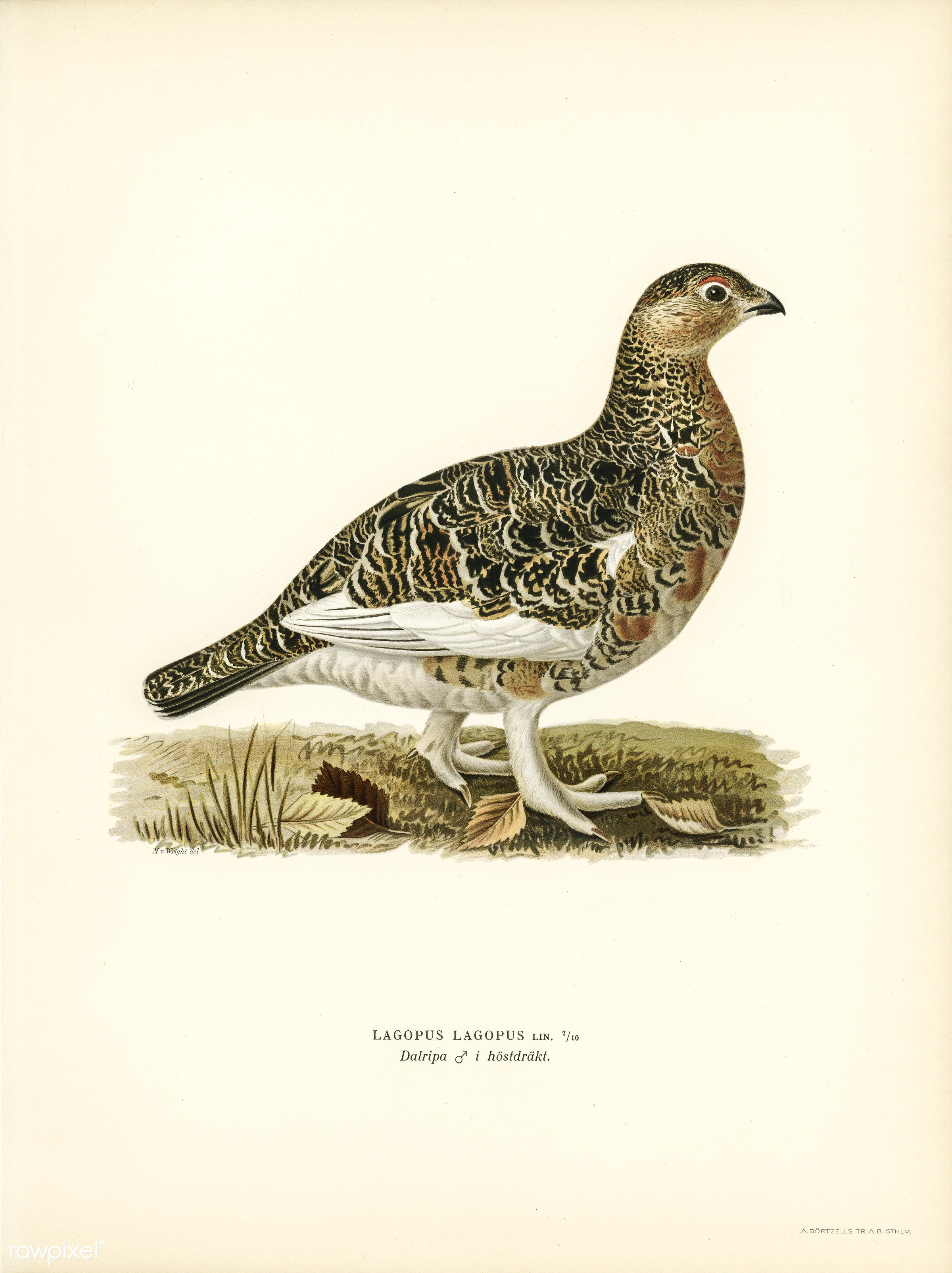 Willow ptarmigan male (Lagopus lagopus) illustrated by the von Wright brothers. Digitally enhanced from our own 1929 folio...
