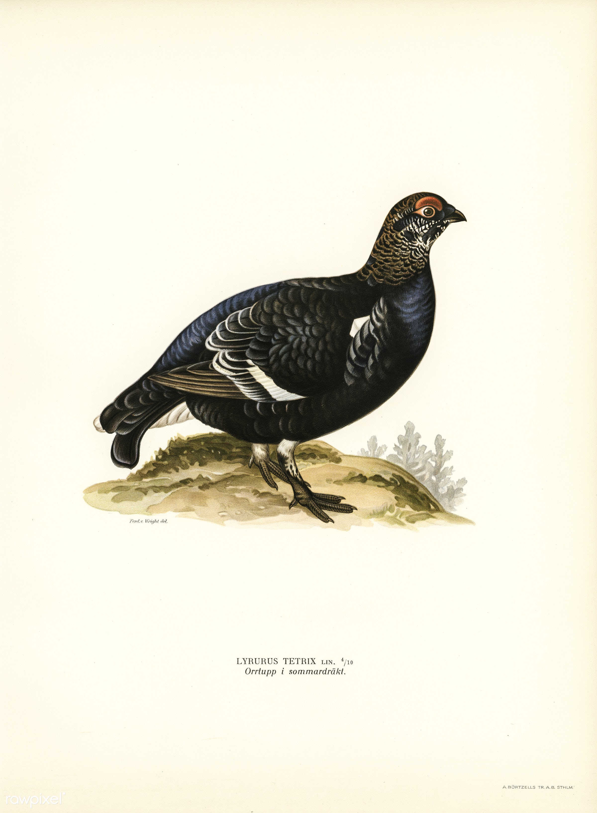Black grouse (Lyrurus Tetrix) illustrated by the von Wright brothers. Digitally enhanced from our own 1929 folio version of...