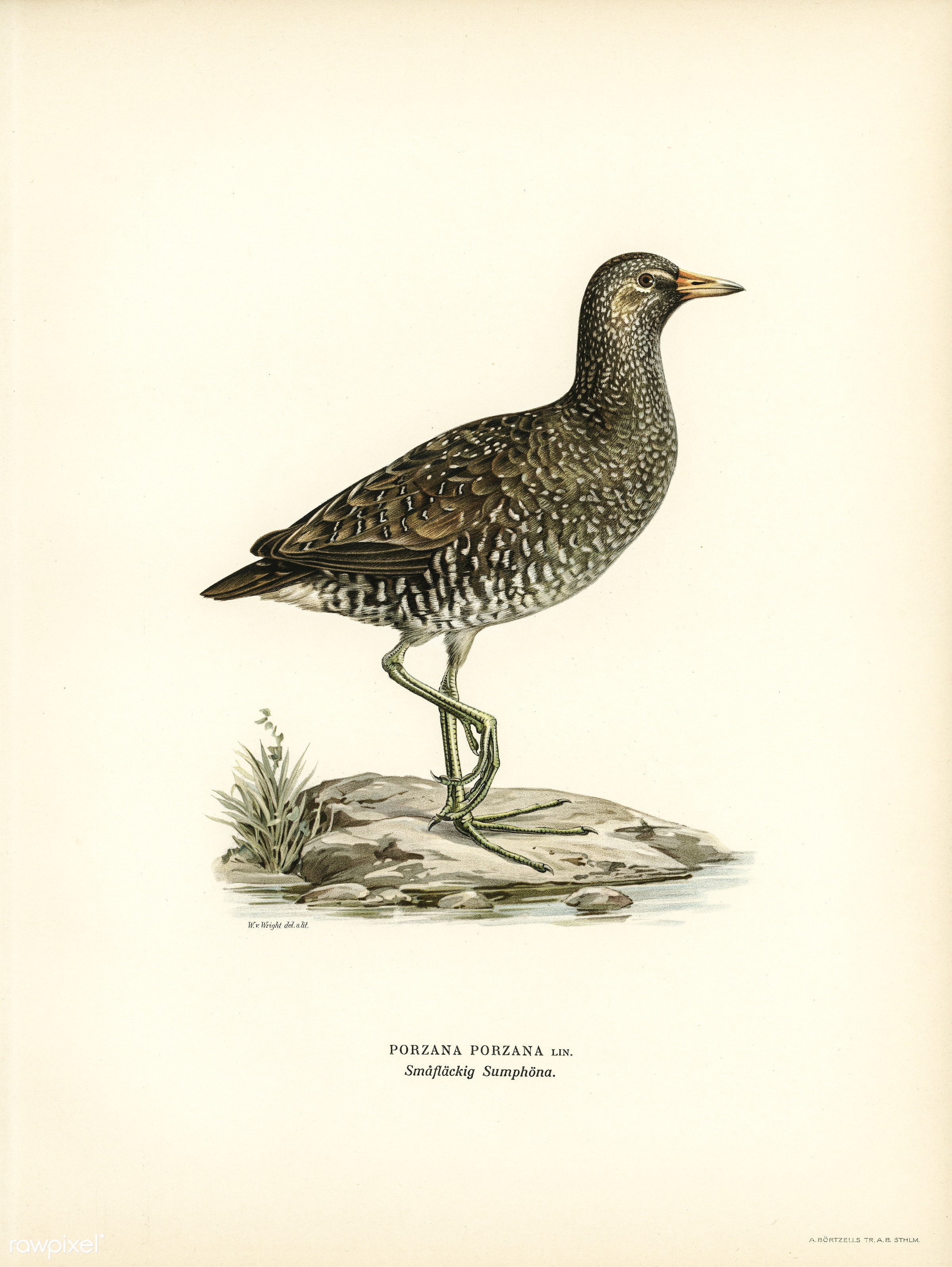 Water rail (Rallus Aquaticus) illustrated by the von Wright brothers. Digitally enhanced from our own 1929 folio version of...