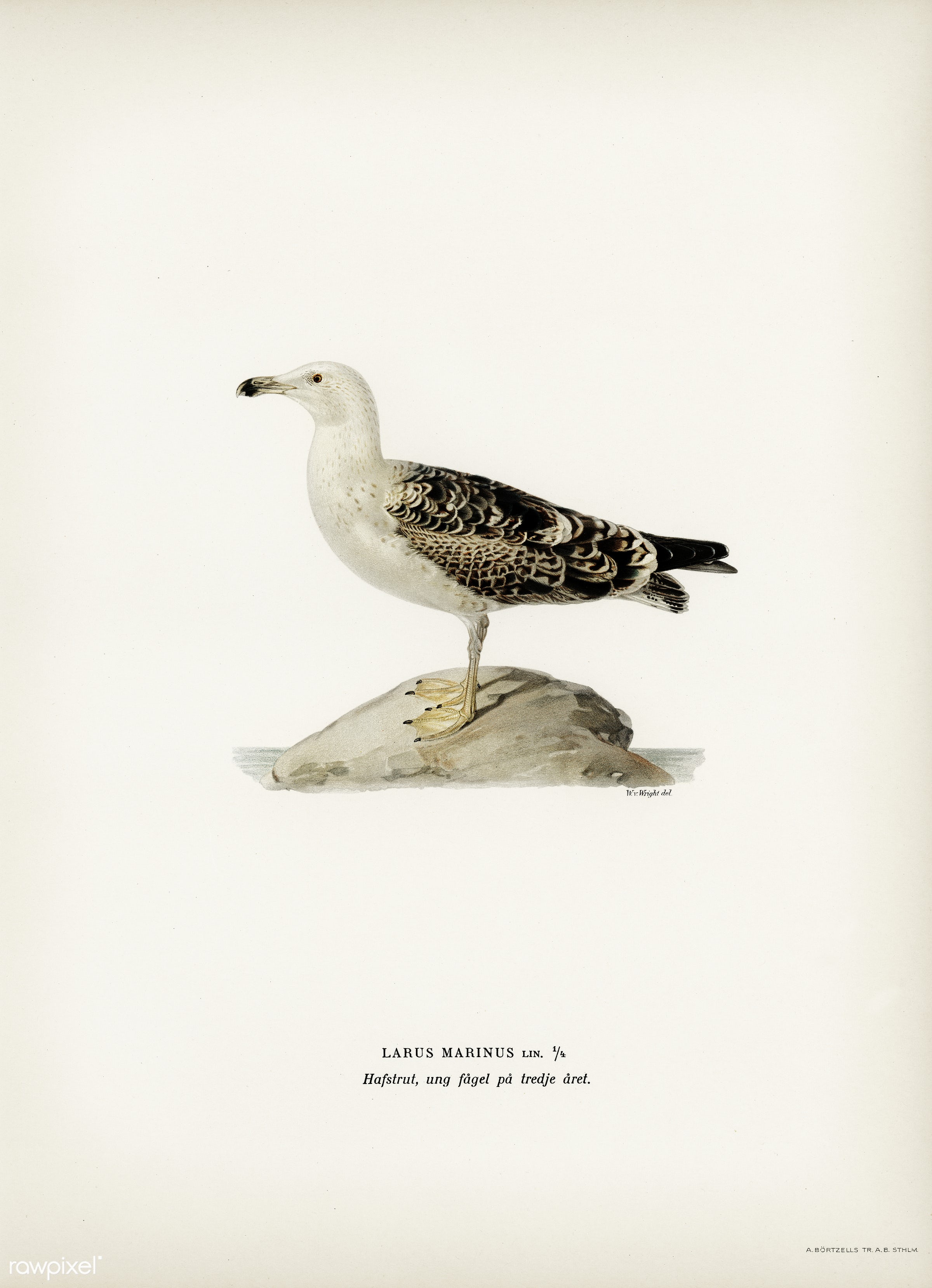 Great black-backed gull (LARUS MARINUS) illustrated by the von Wright brothers. Digitally enhanced from our own 1929 folio...