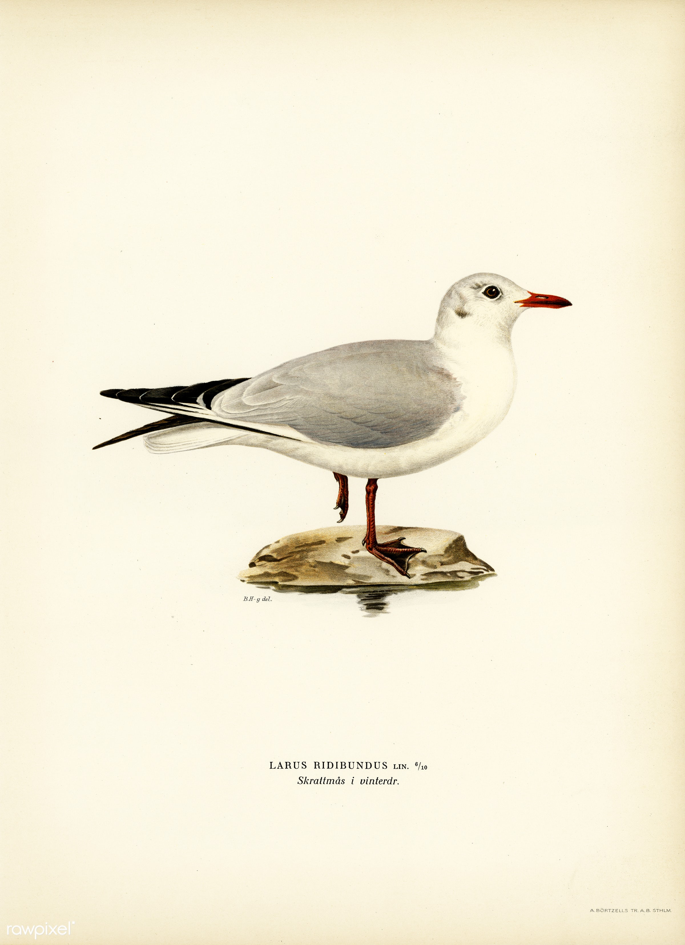 Black-headed gull (Larus Ridibundus) illustrated by the von Wright brothers. Digitally enhanced from our own 1929 folio...