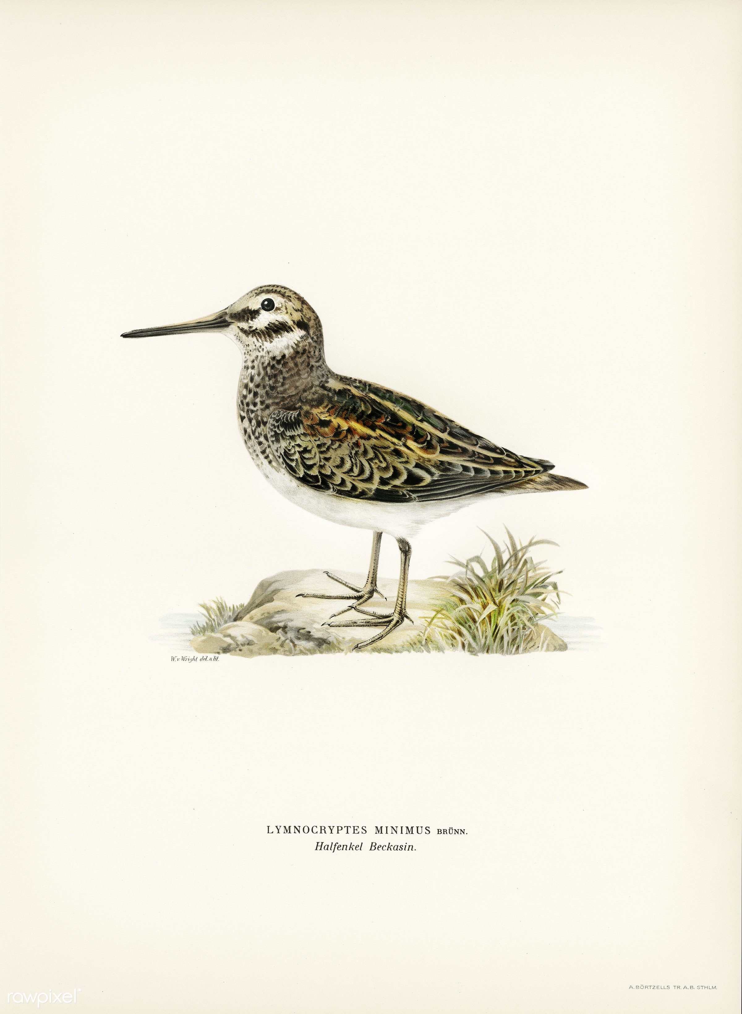 Jack snipe (Lymnocryptes minimus) illustrated by the von Wright brothers. Digitally enhanced from our own 1929 folio version...