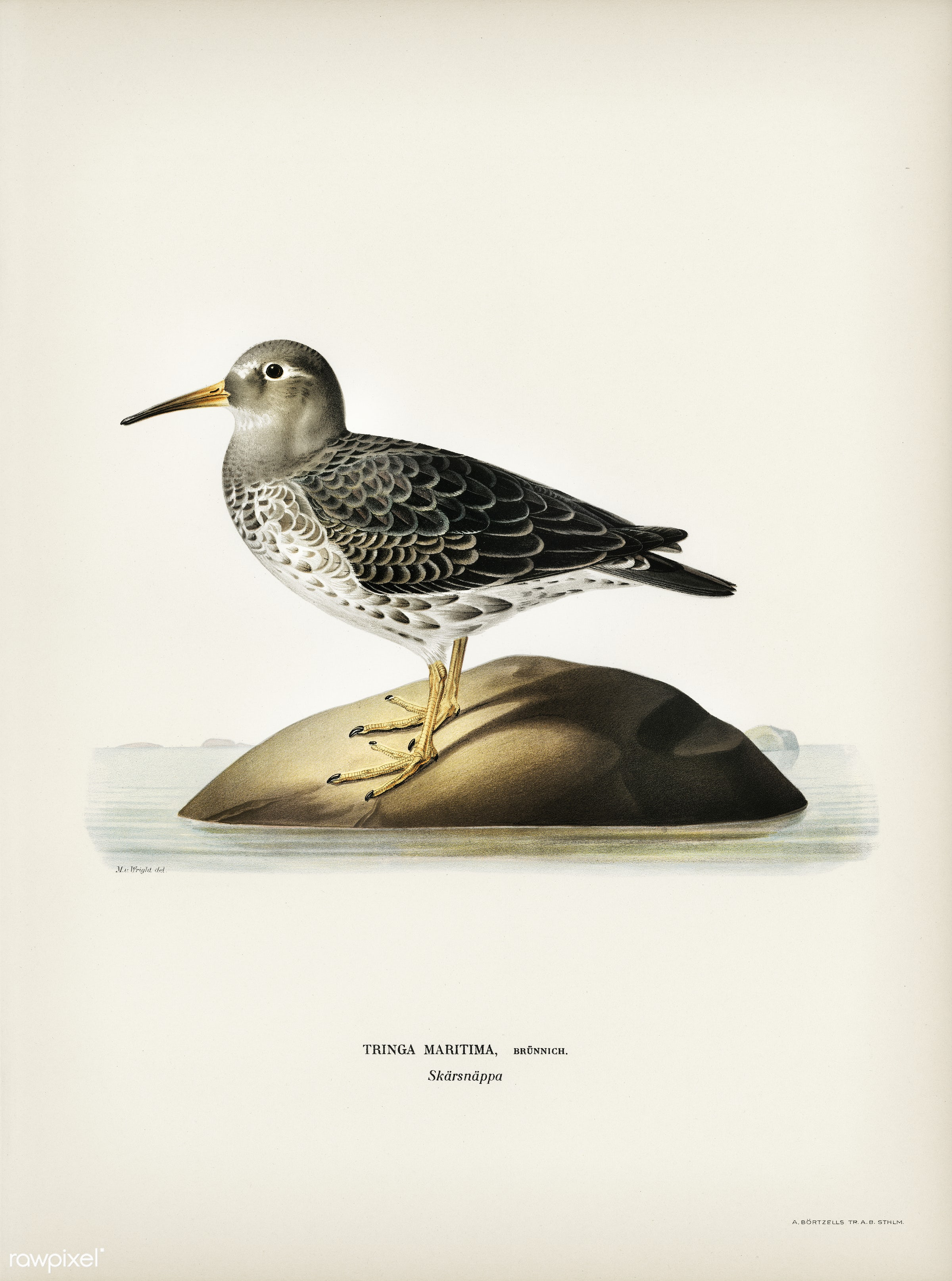 Purple Sandpiper (tringa maritima) illustrated by the von Wright brothers. Digitally enhanced from our own 1929 folio...