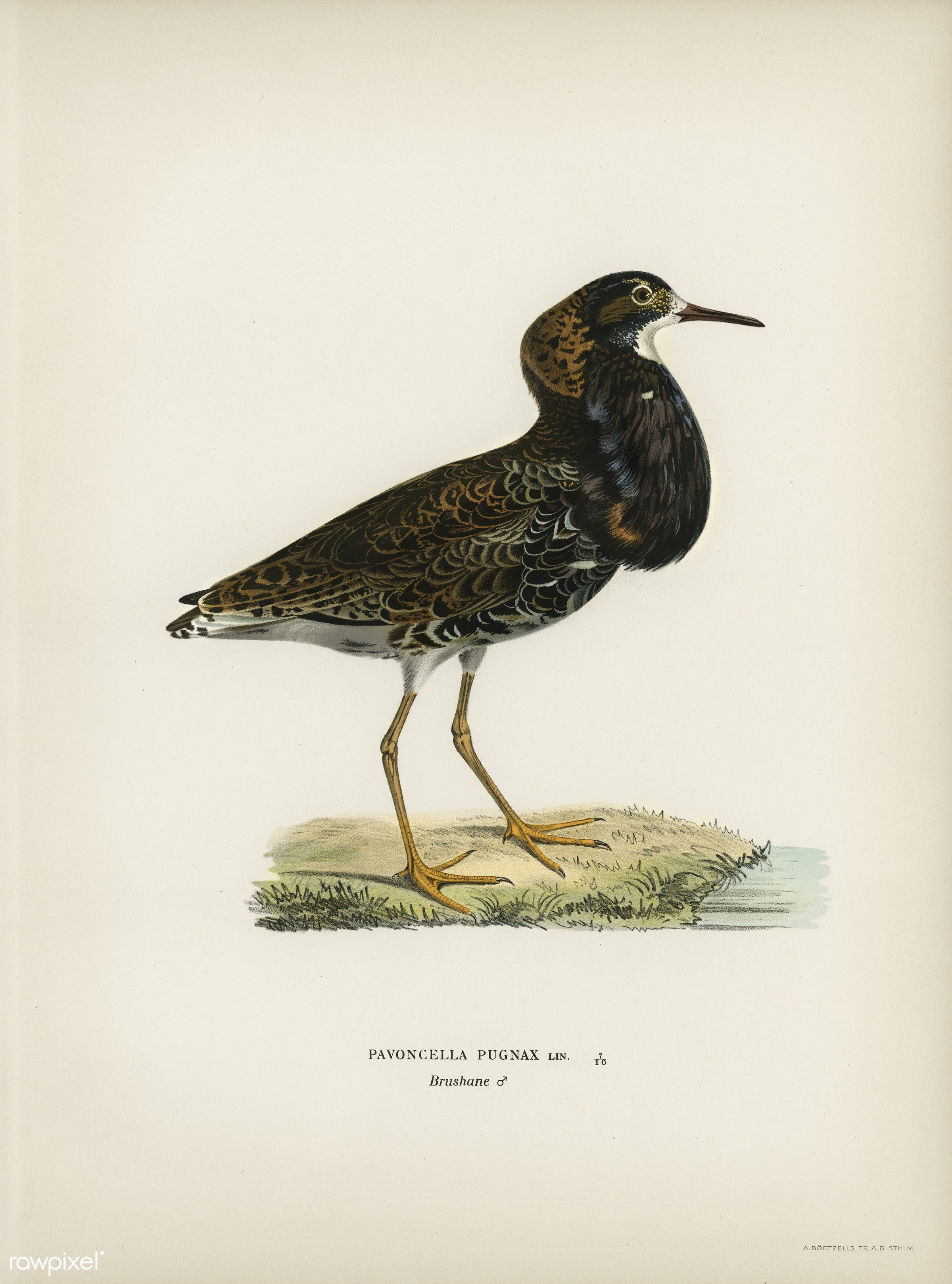 Ruff (Pavoncella pugnaxr) illustrated by the von Wright brothers. Digitally enhanced from our own 1929 folio version of...