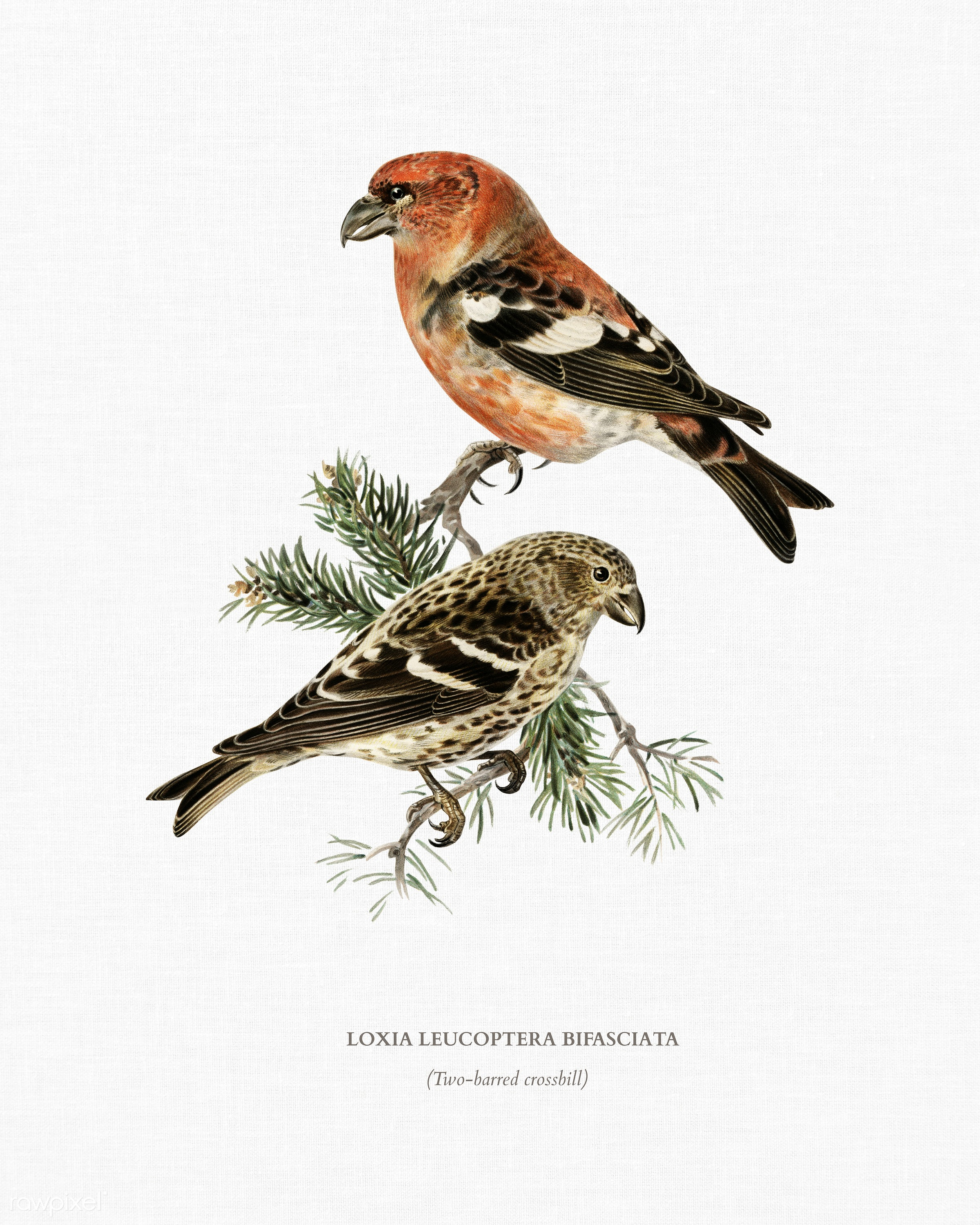 Two-barred crossbill (Loxia leucoptera bifasciata) illustrated by the von Wright brothers. Digitally enhanced from our own...