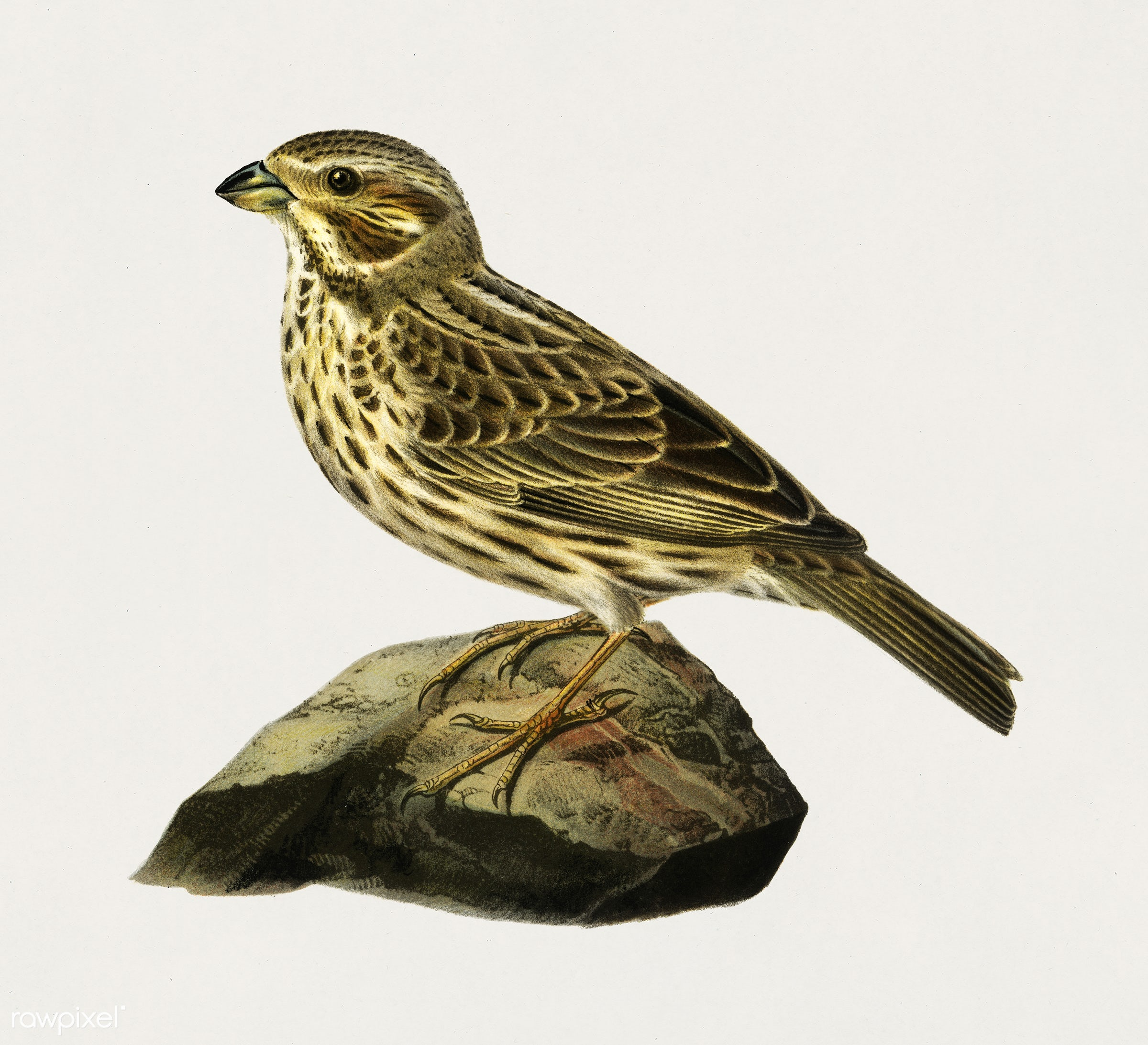Corn bunting (EMBERIZA CARLANDRA) illustrated by the von Wright brothers. Digitally enhanced from our own 1929 folio version...