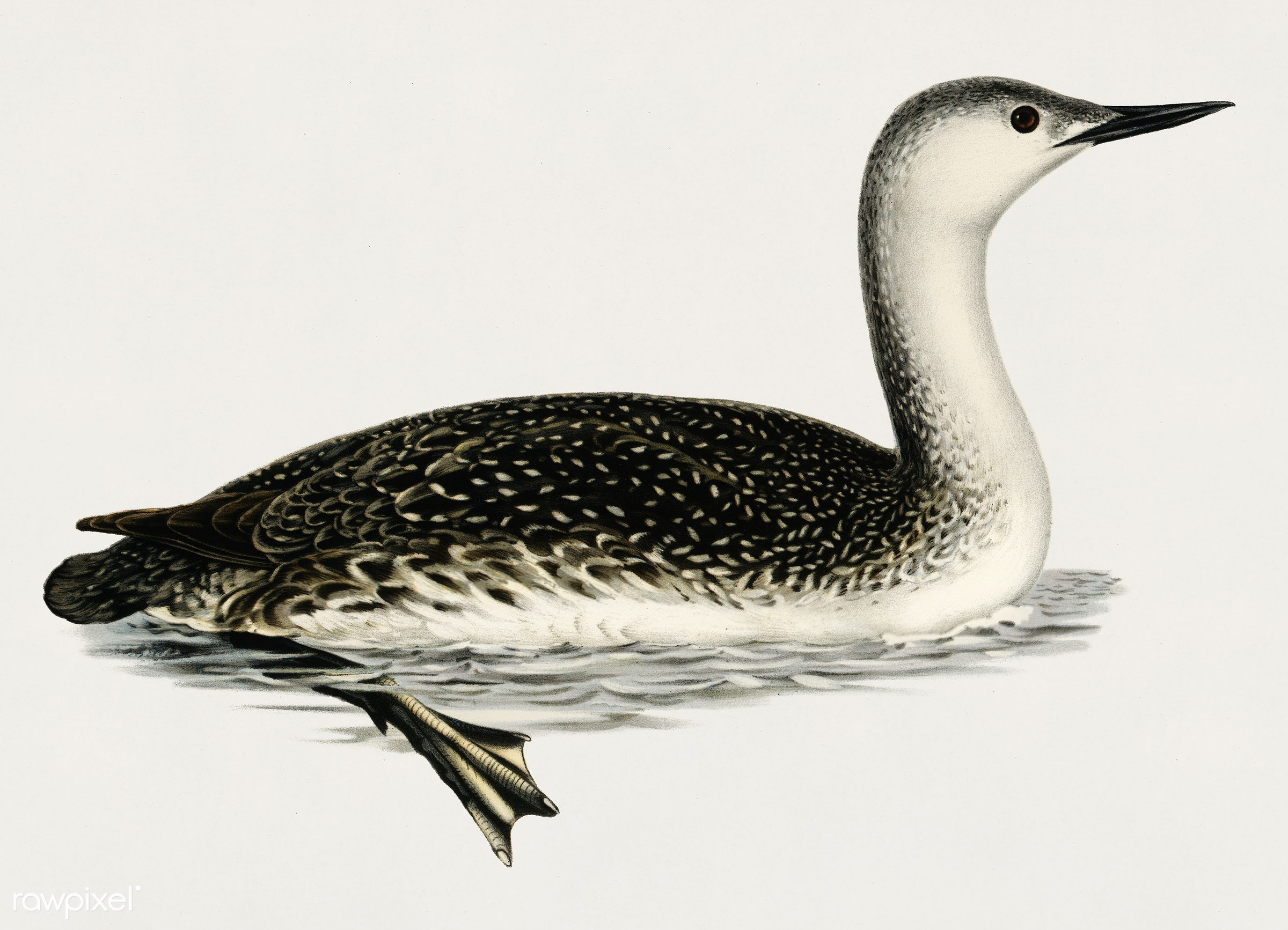 Red-thoated loon (COLYMBUS STELLATUS) illustrated by the von Wright brothers. Digitally enhanced from our own 1929 folio...