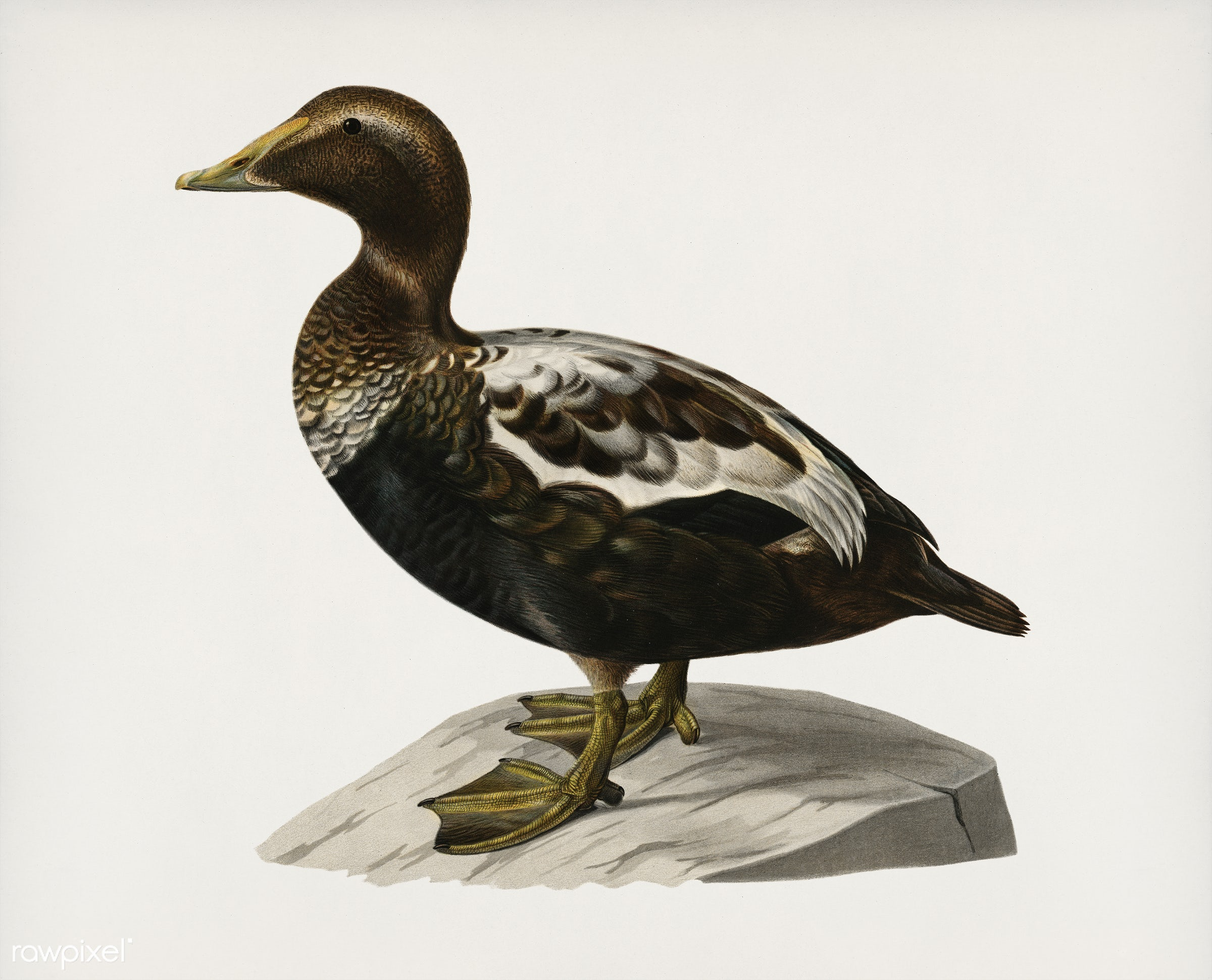 Eider ♂ (CORACIAS SOMATERIA MOLLISSIMA) illustrated by the von Wright brothers. Digitally enhanced from our own 1929 folio...