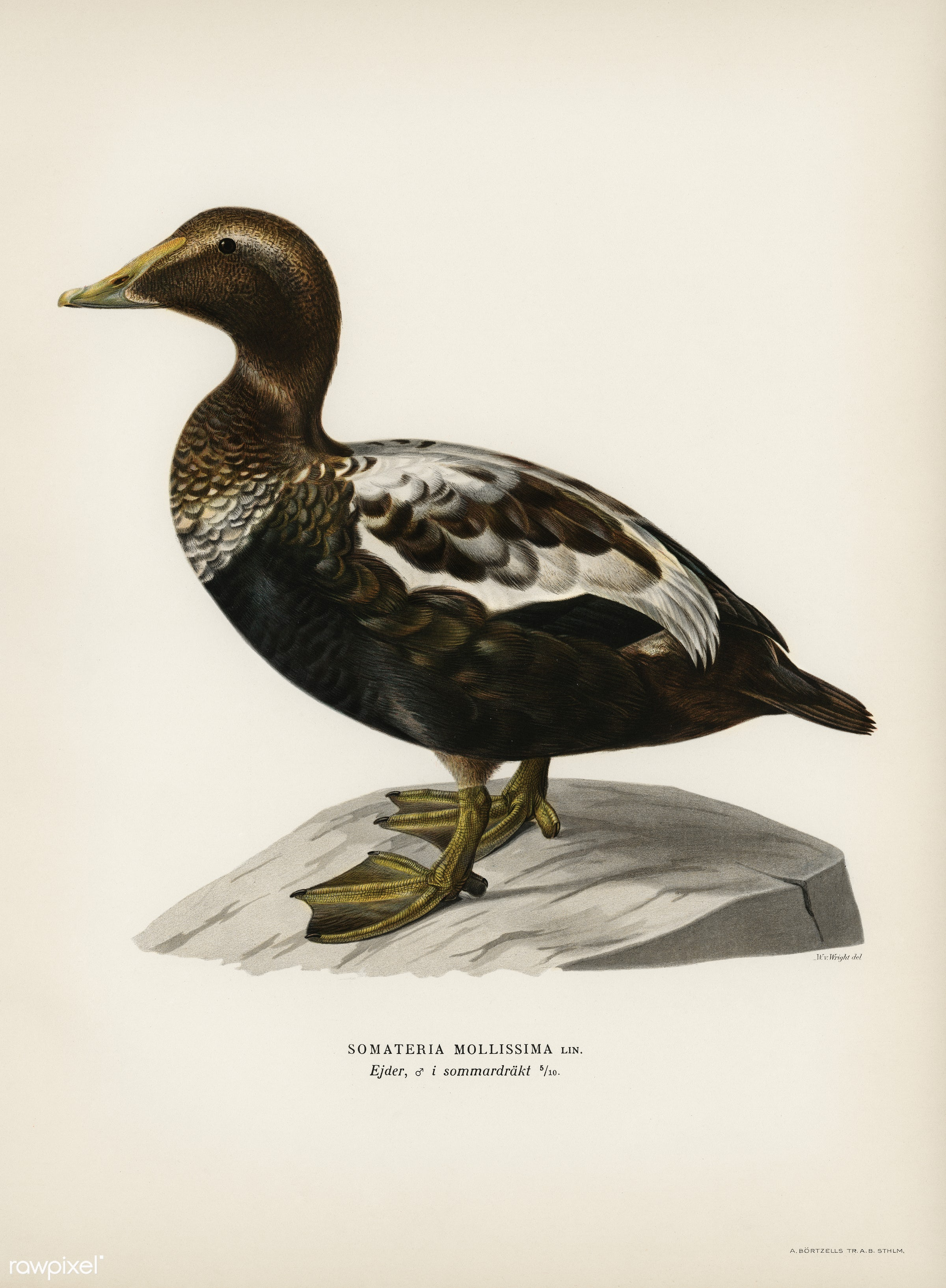 Eider (CORACIAS SOMATERIA MOLLISSIMA) illustrated by the von Wright brothers. Digitally enhanced from our own 1929 folio...