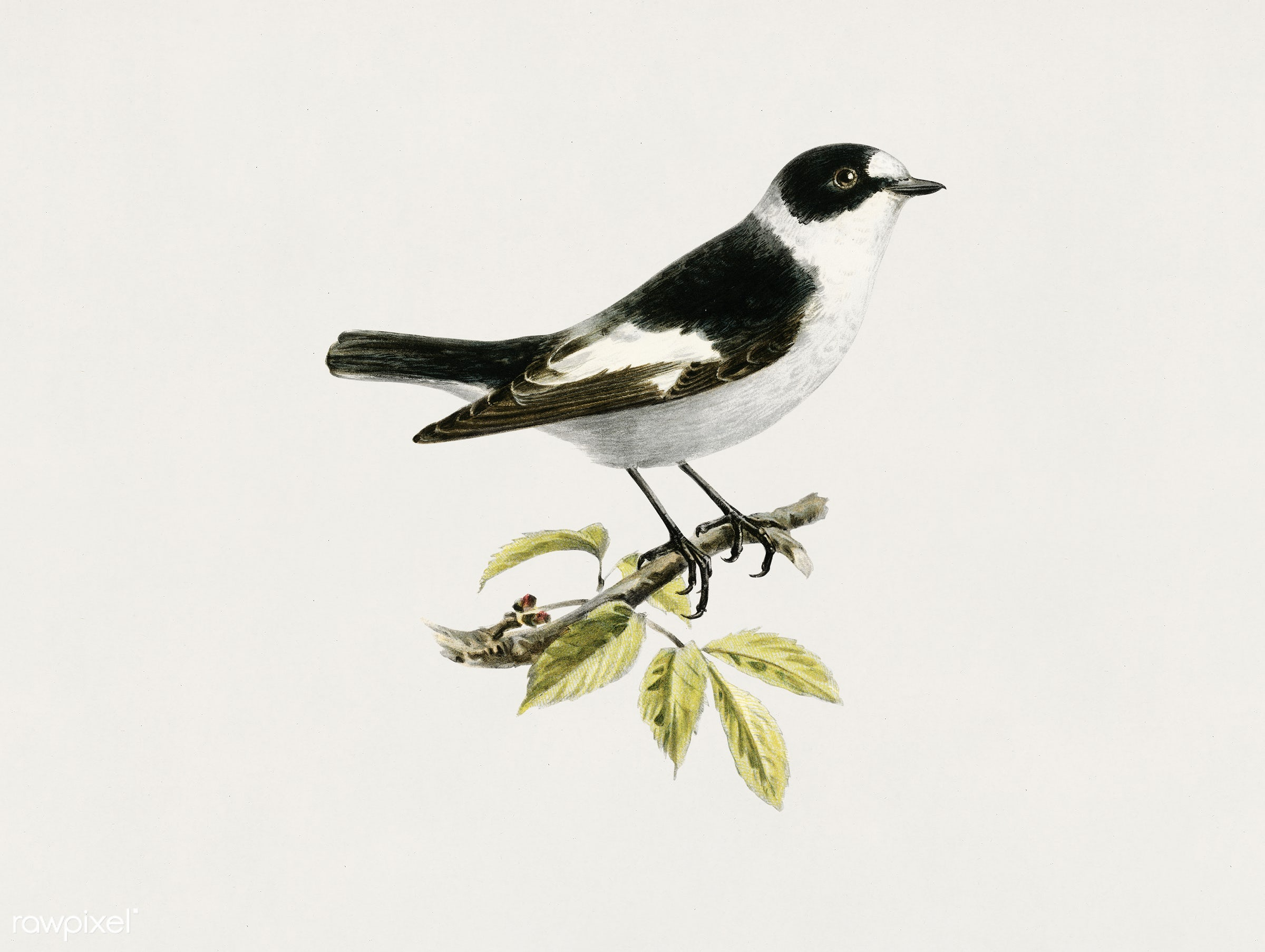 Collared flycatcher (Muscicapa collaris) illustrated by the von Wright brothers. Digitally enhanced from our own 1929 folio...