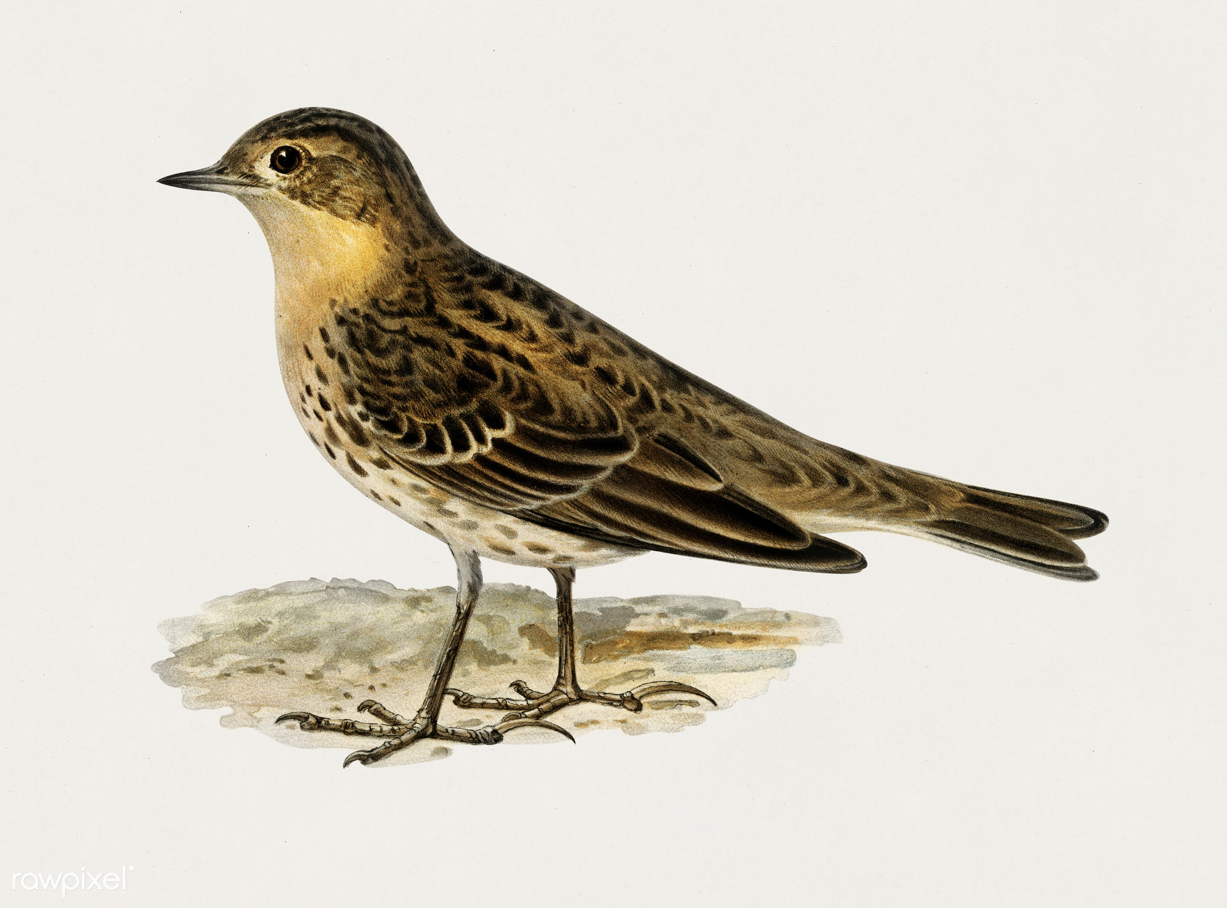 Red-throated pipit (Anthus cervinus bird) illustrated by the von Wright brothers. Digitally enhanced from our own 1929 folio...