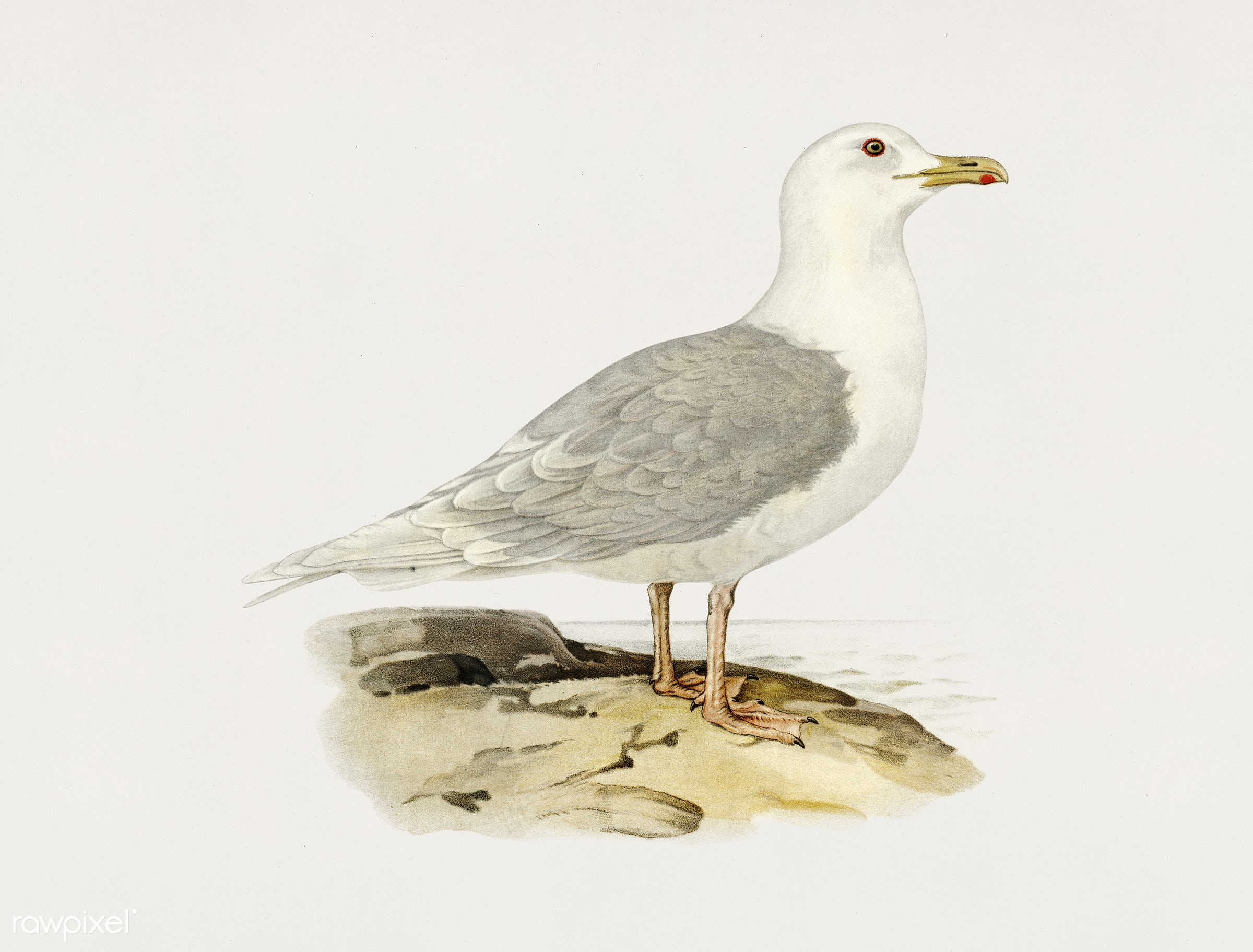 LARUS LEUCOPTERUS illustrated by the von Wright brothers. Digitally enhanced from our own 1929 folio version of Svenska F...