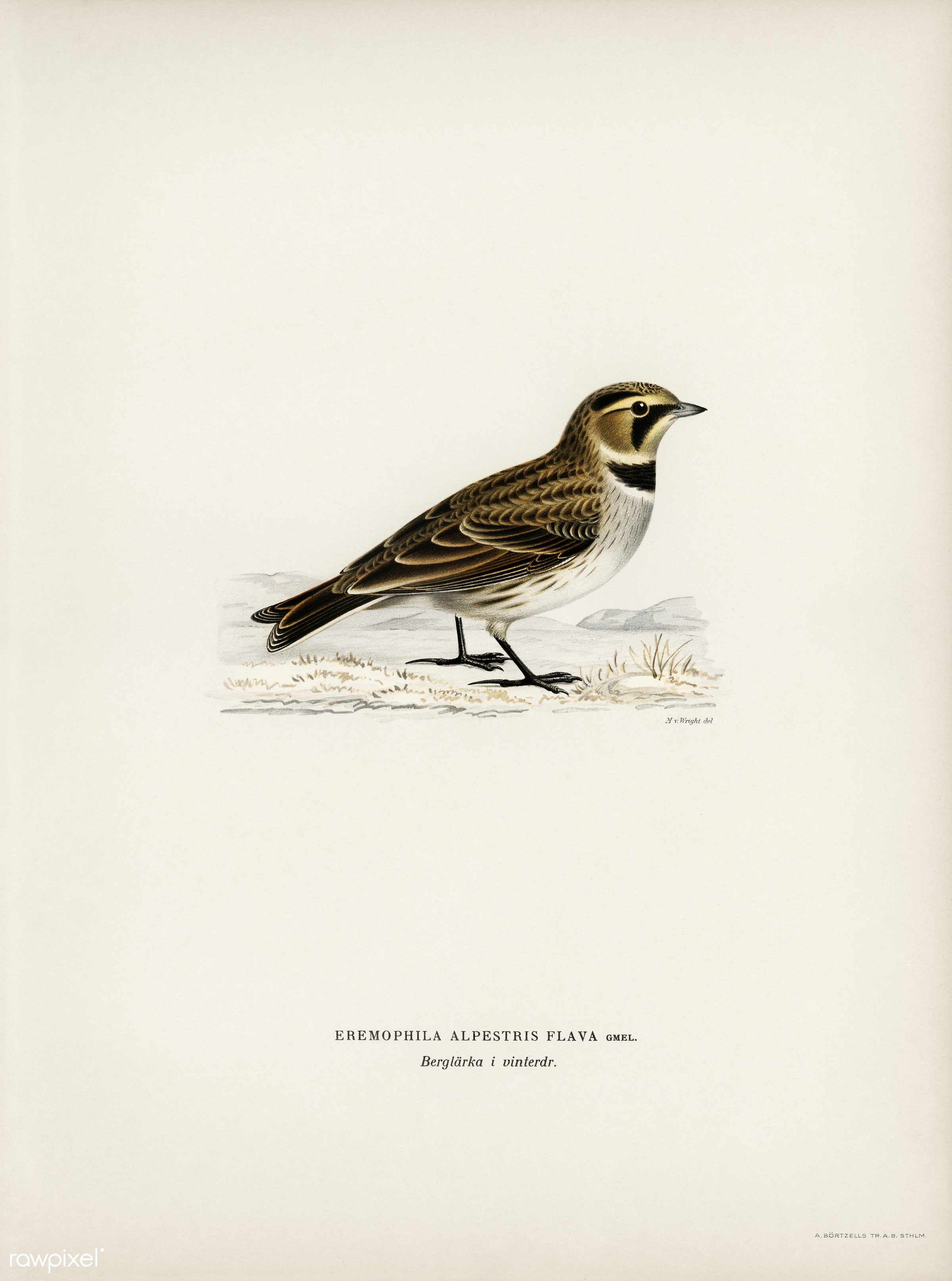 Horned lark (Eremophila alpestris flava) illustrated by the von Wright brothers. Digitally enhanced from our own 1929 folio...