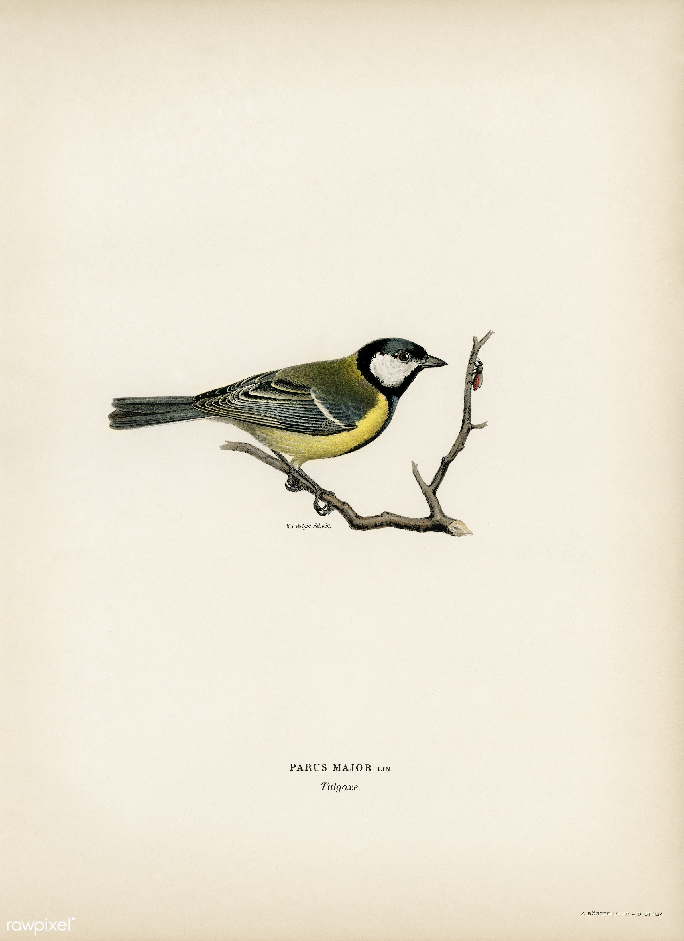 Talgoxe (PARUS MAJOR LIN.) illustrated by the von Wright brothers. Digitally enhanced from our own 1929 folio version of...