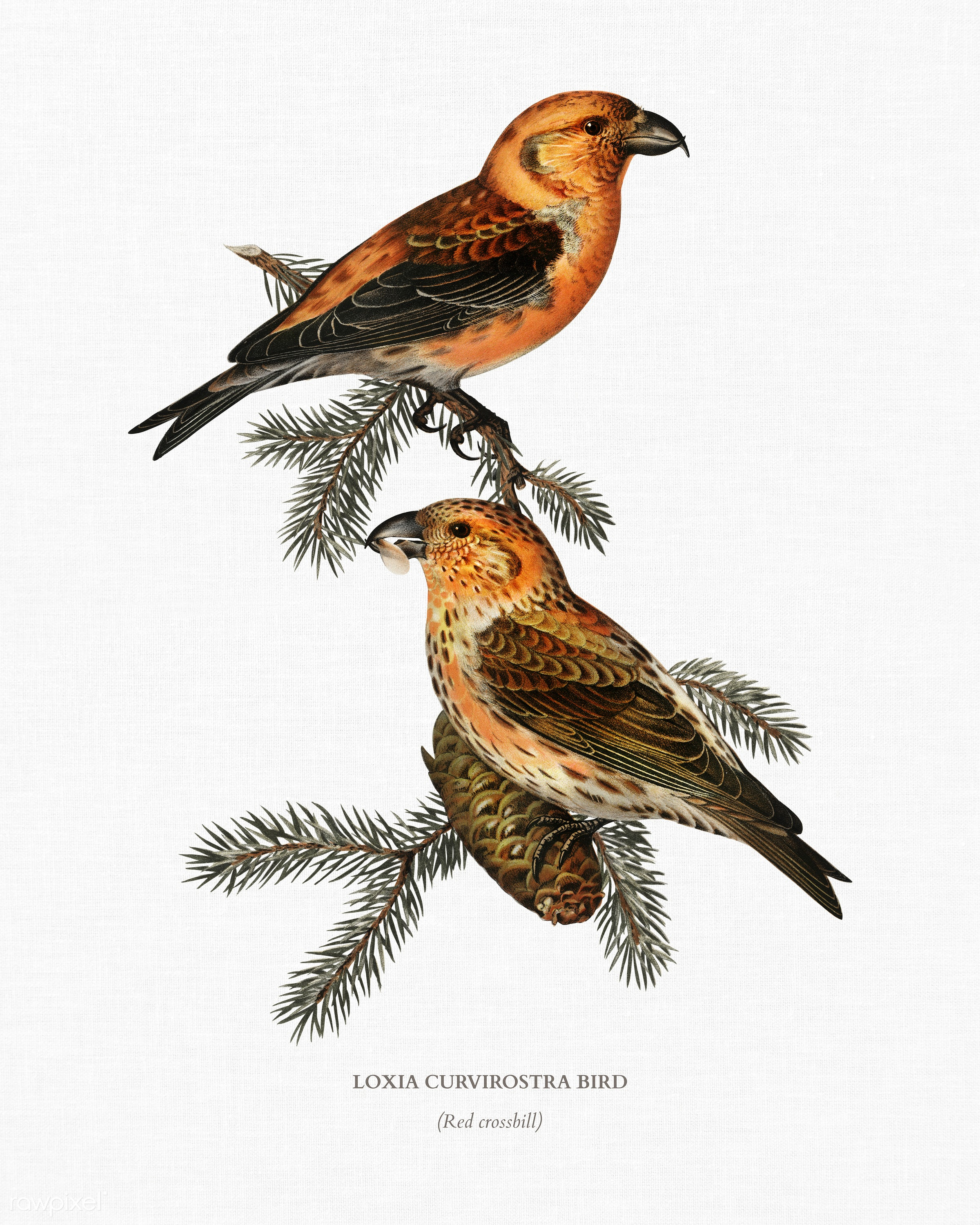 Red crossbill (Loxia curvirostra bird) illustrated by the von Wright brothers. Digitally enhanced from our own 1929 folio...