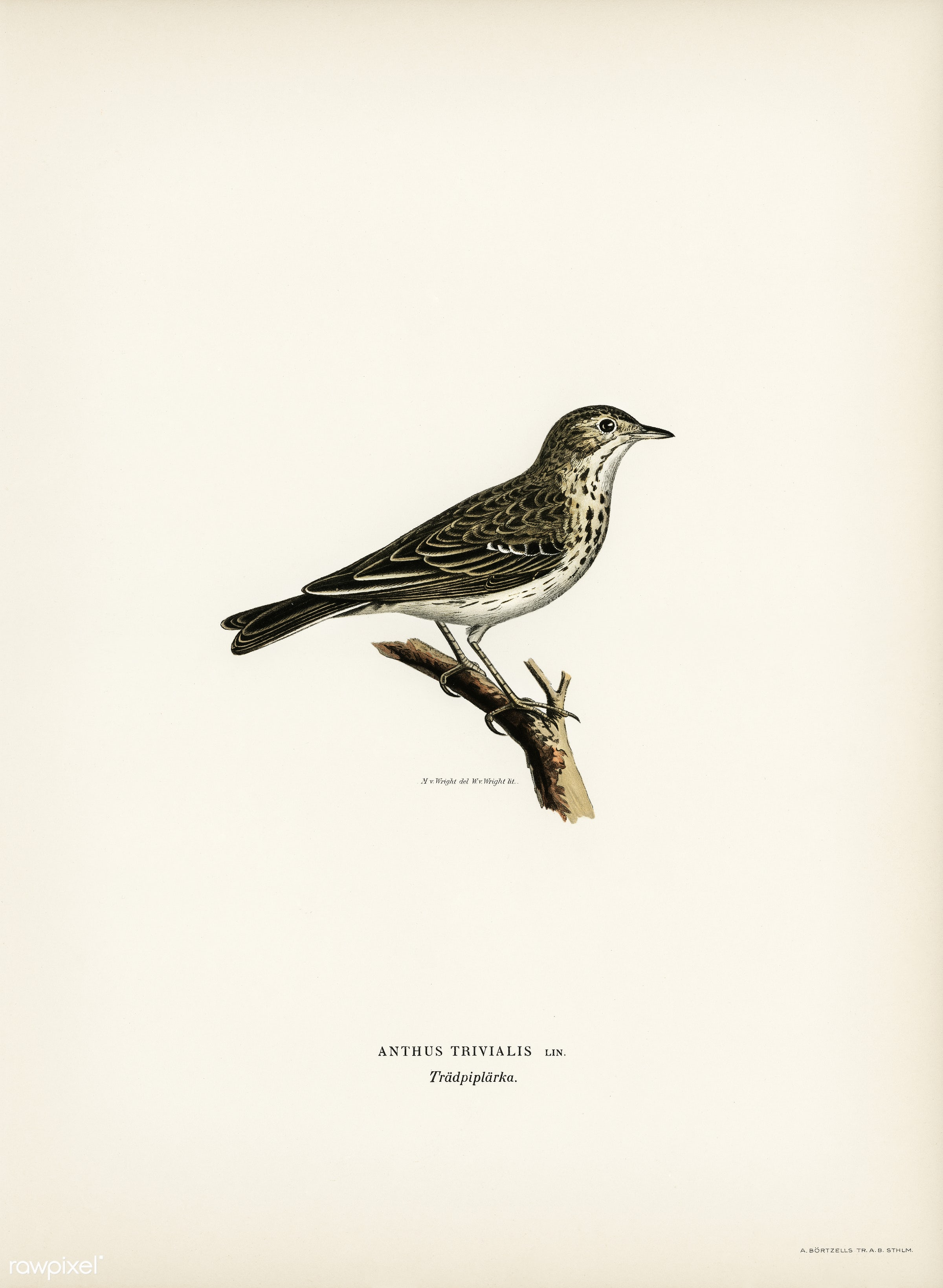 Tree pipit (Anthus trivialis) illustrated by the von Wright brothers. Digitally enhanced from our own 1929 folio version of...