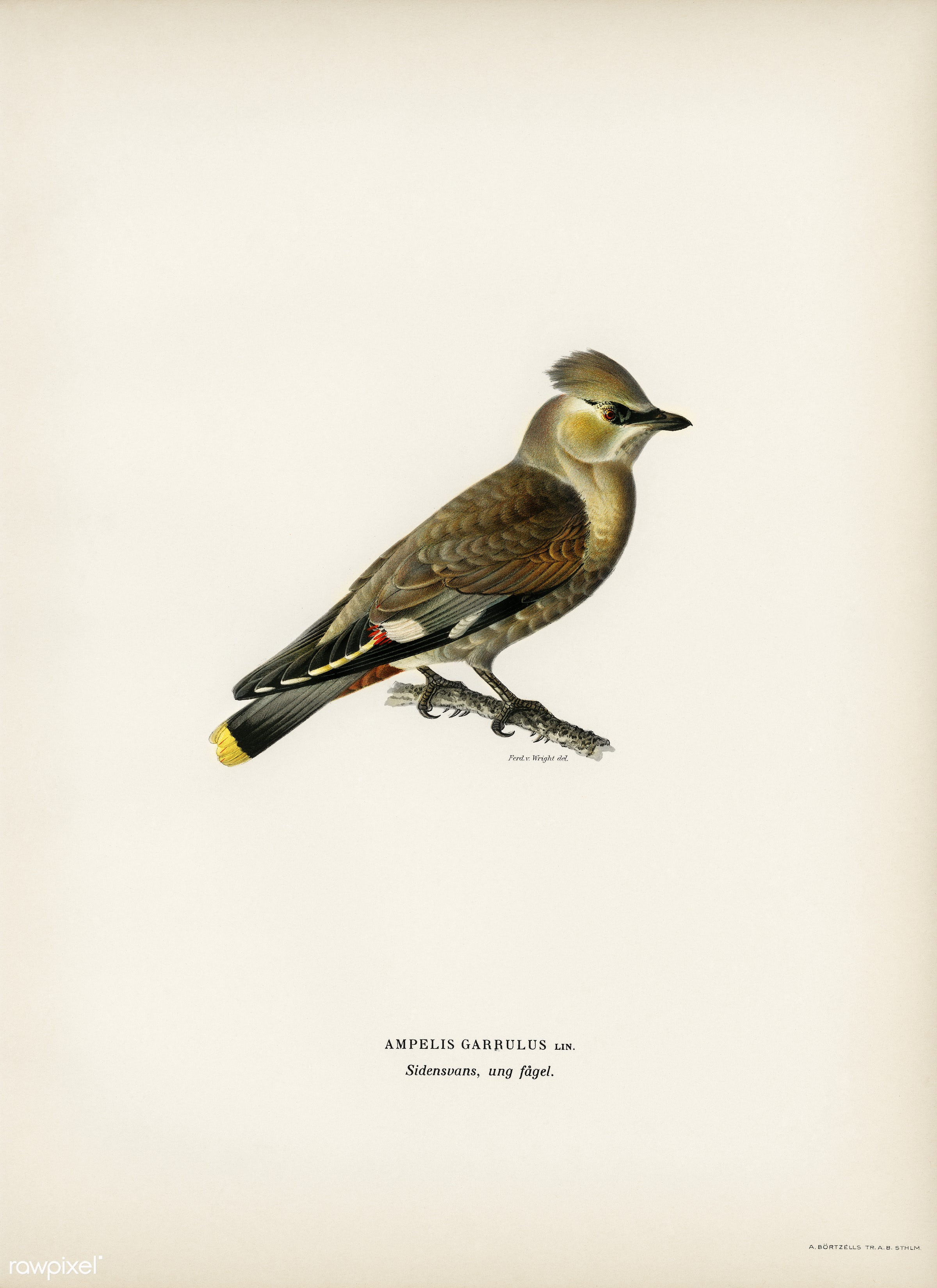 AMPELIS GARRULUS illustrated by the von Wright brothers. Digitally enhanced from our own 1929 folio version of Svenska F...