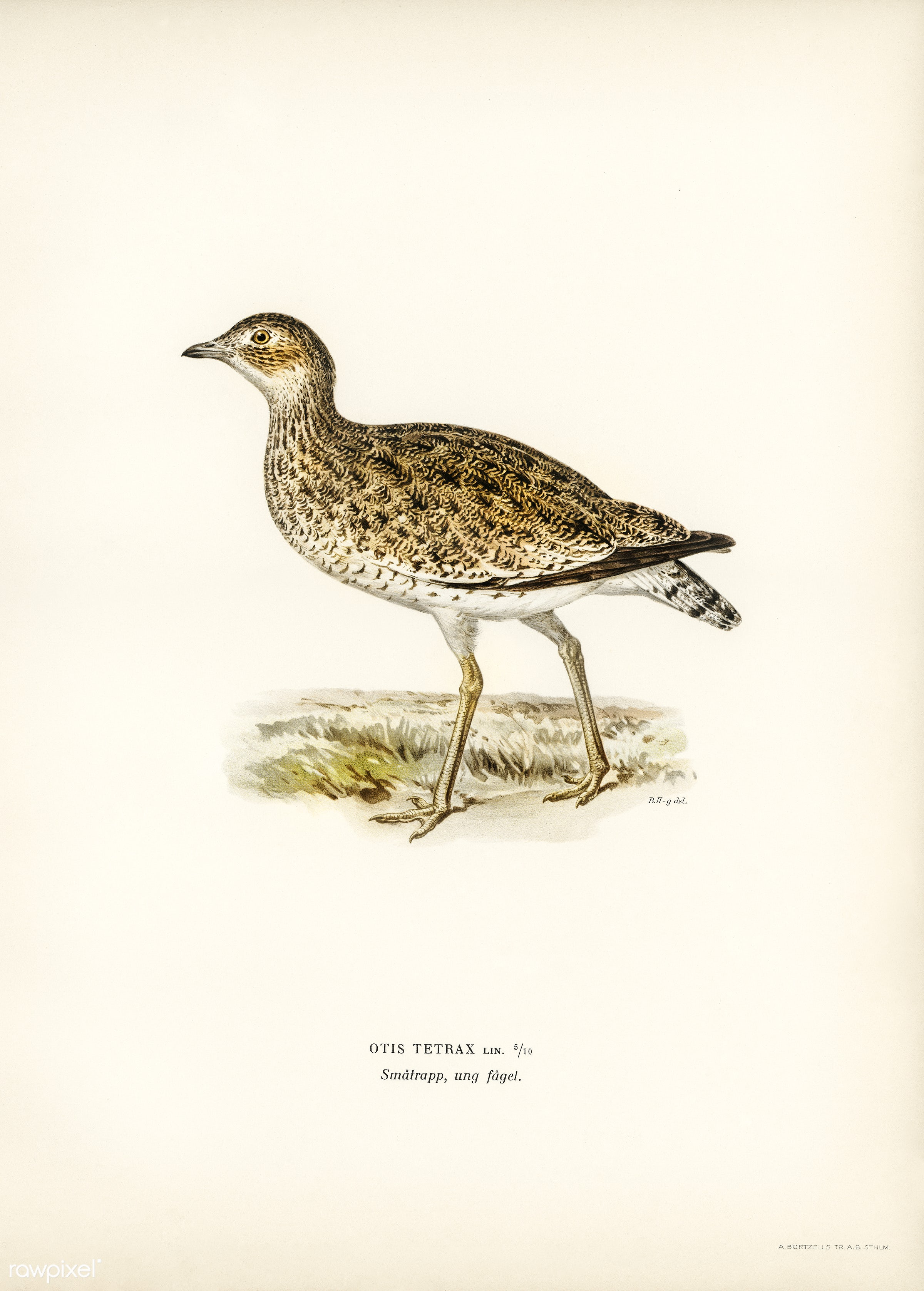 Little bustard (Otis tetrax) illustrated by the von Wright brothers. Digitally enhanced from our own 1929 folio version of...
