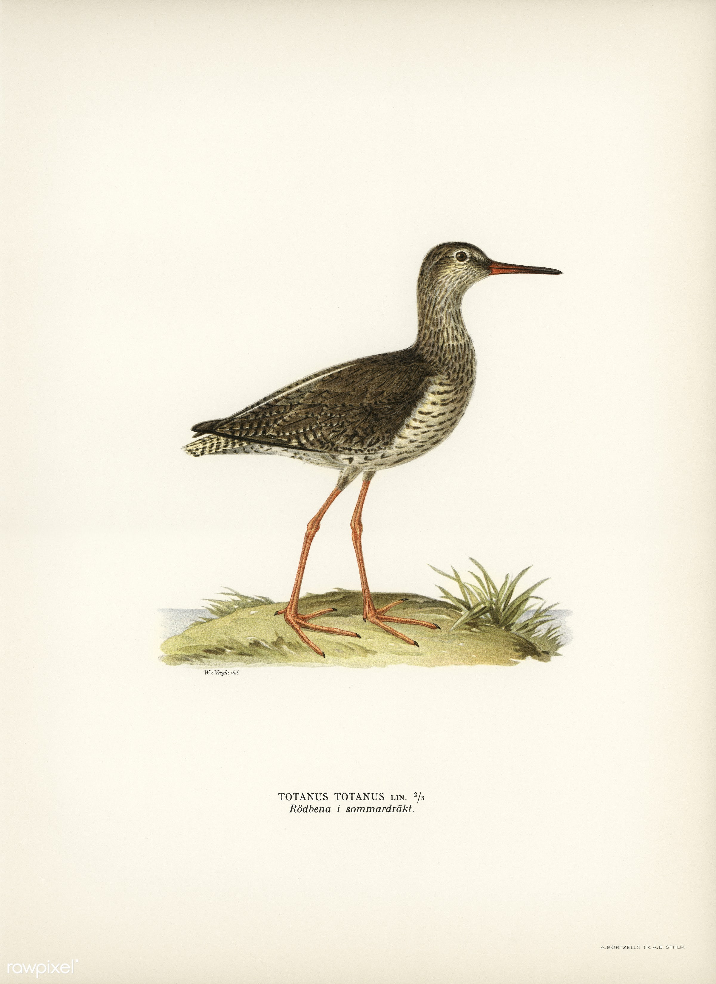 Common redshank (Totanus totanus) illustrated by the von Wright brothers. Digitally enhanced from our own 1929 folio version...