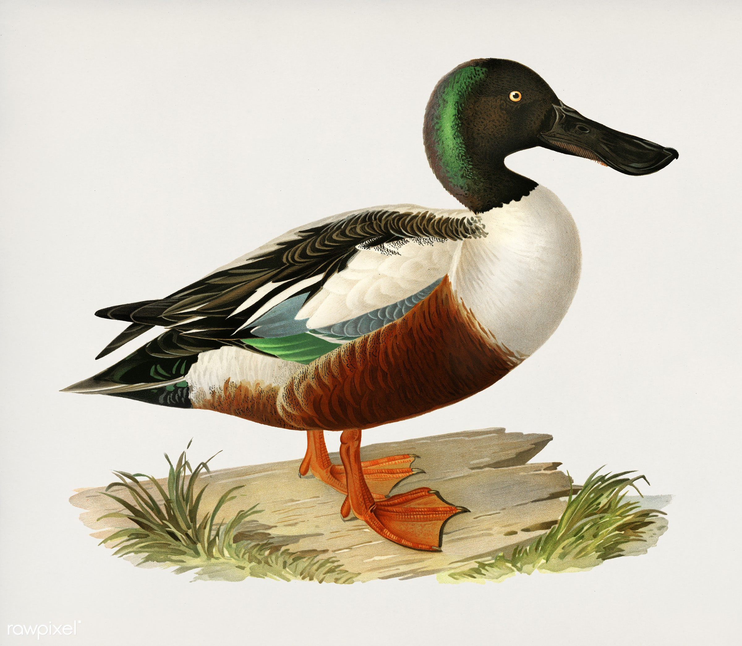 Cinnamon teal (Spatula cyanoptera) illustrated by the von Wright brothers. Digitally enhanced from our own 1929 folio...