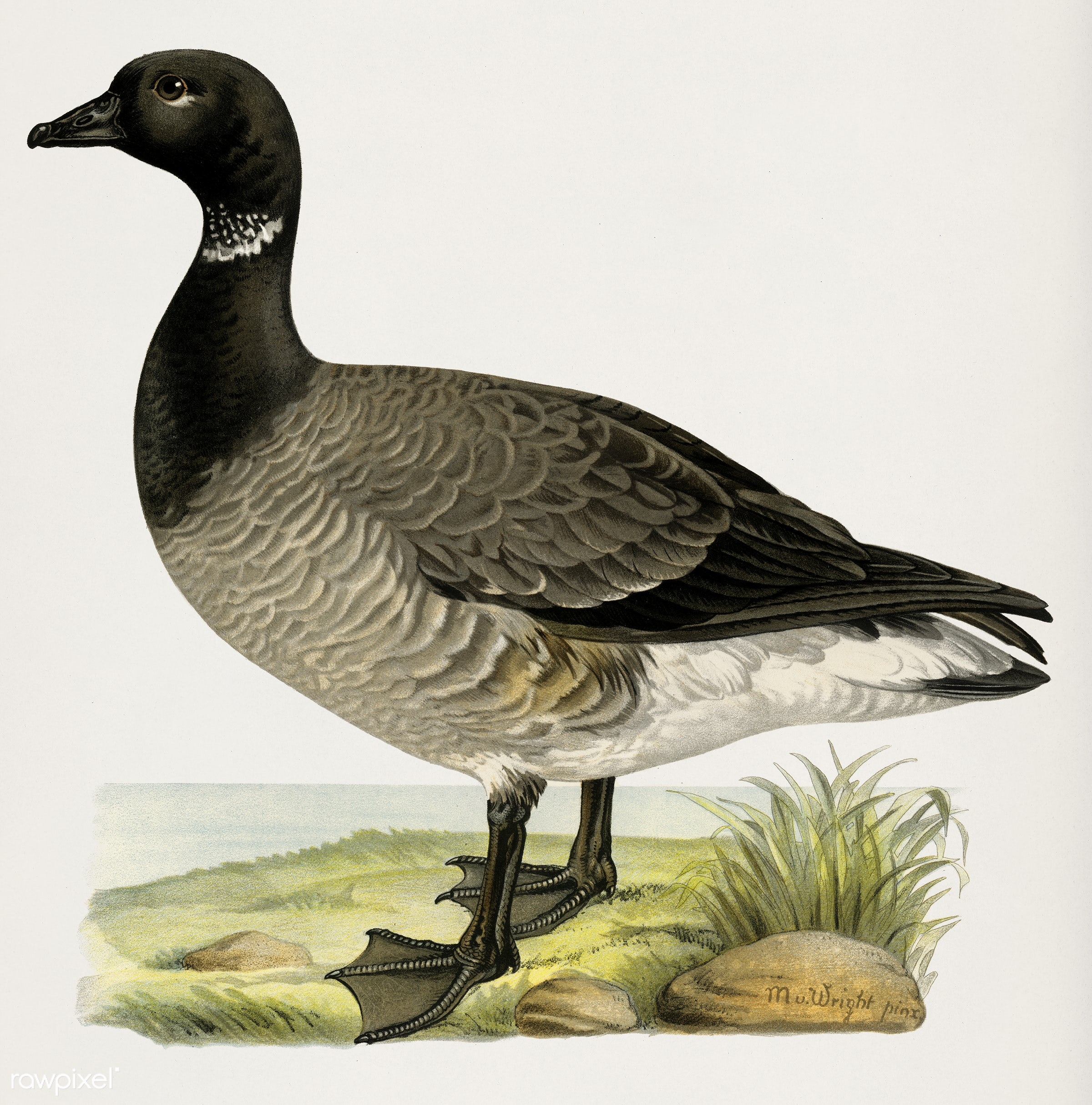 Brant Goose (Branta bernicla) illustrated by the von Wright brothers. Digitally enhanced from our own 1929 folio version of...