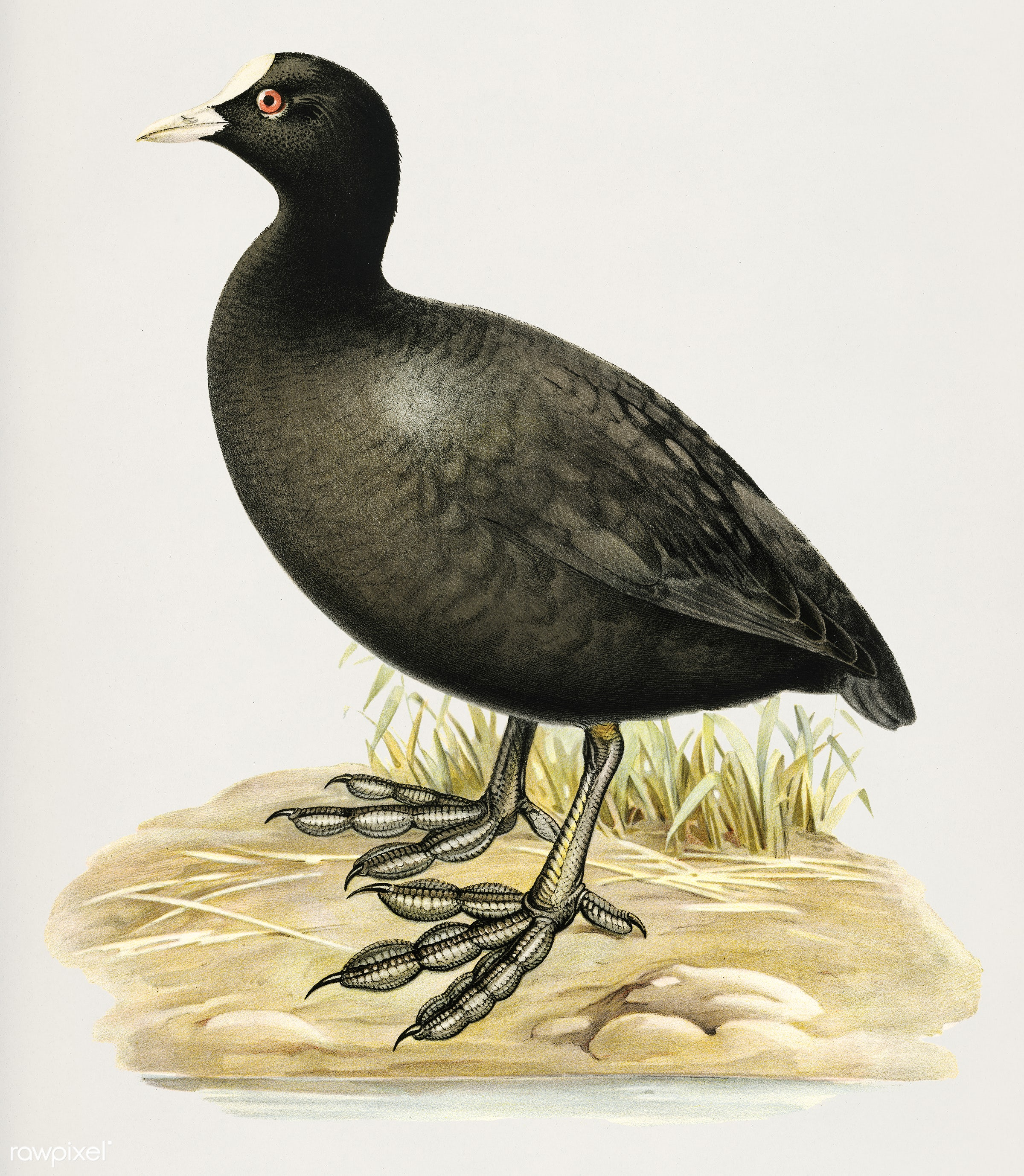 Eurasian coot (Fulica atra) illustrated by the von Wright brothers. Digitally enhanced from our own 1929 folio version of...