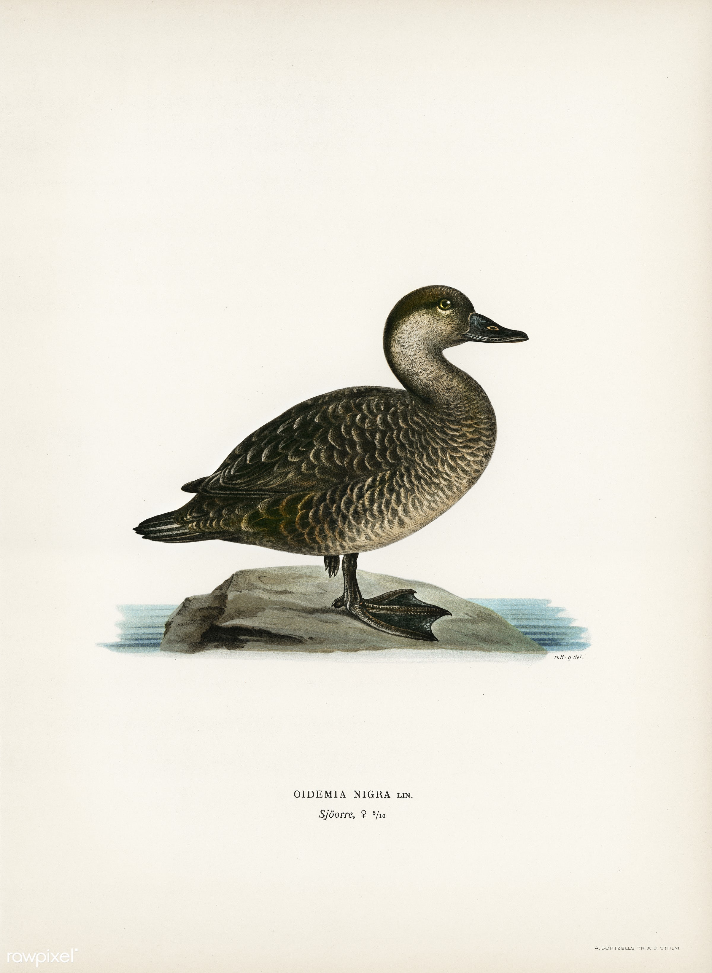 Black scoter female (Oidemia nigra) illustrated by the von Wright brothers. Digitally enhanced from our own 1929 folio...