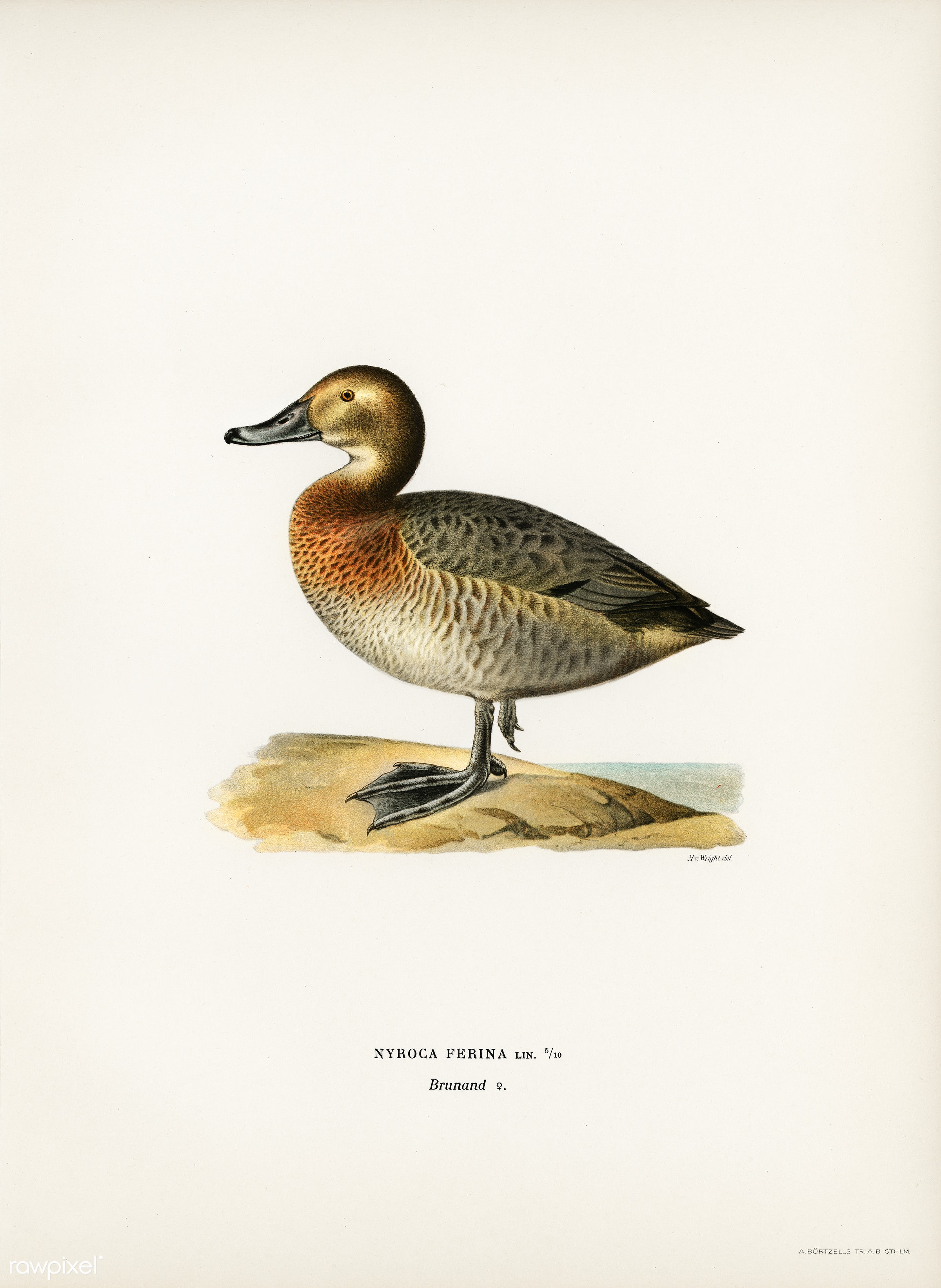 Common Pochard female (Nyroca ferina) illustrated by the von Wright brothers. Digitally enhanced from our own 1929 folio...