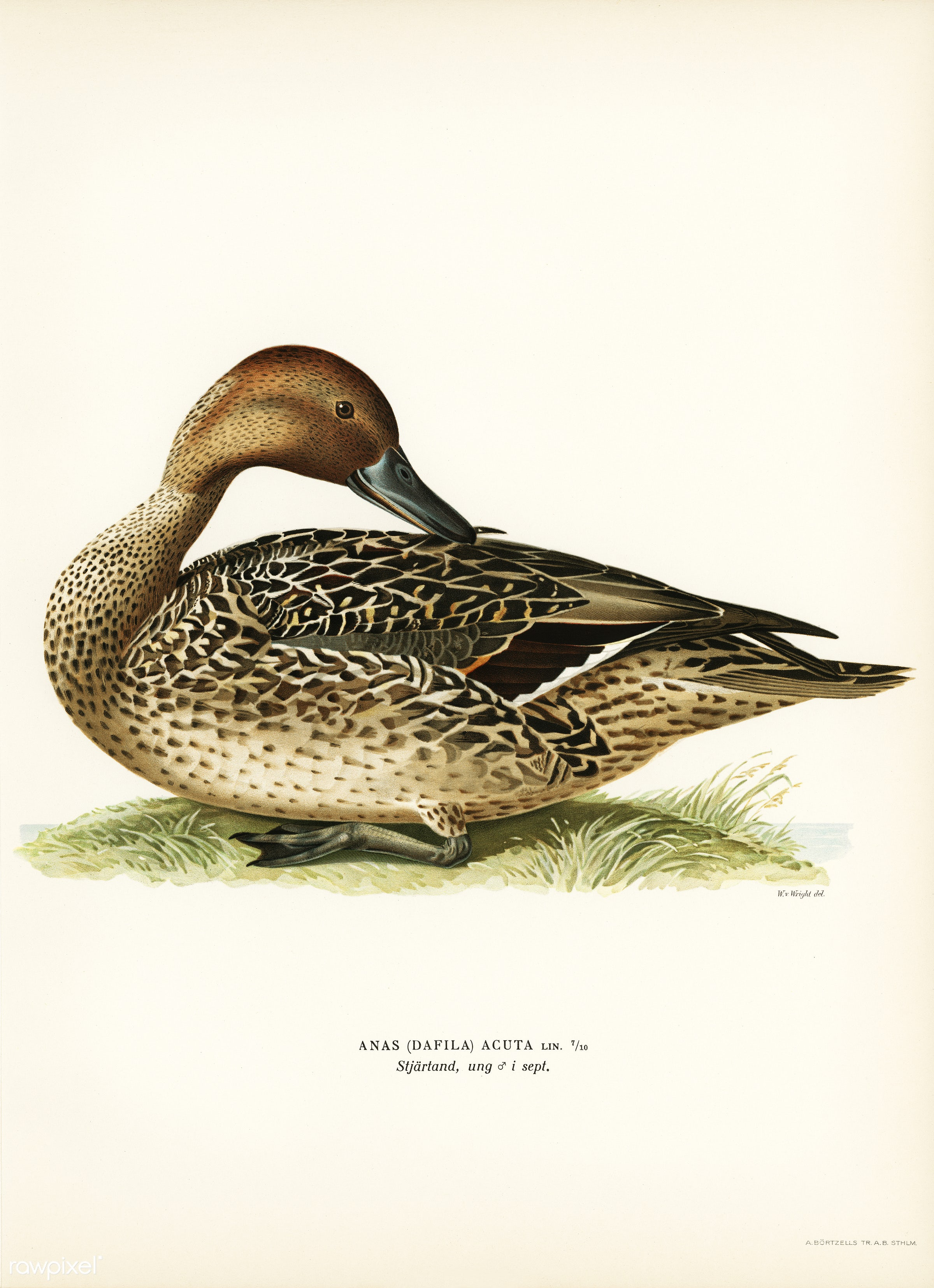Northern Pintail (Anas [dafila] acuta) illustrated by the von Wright brothers. Digitally enhanced from our own 1929 folio...