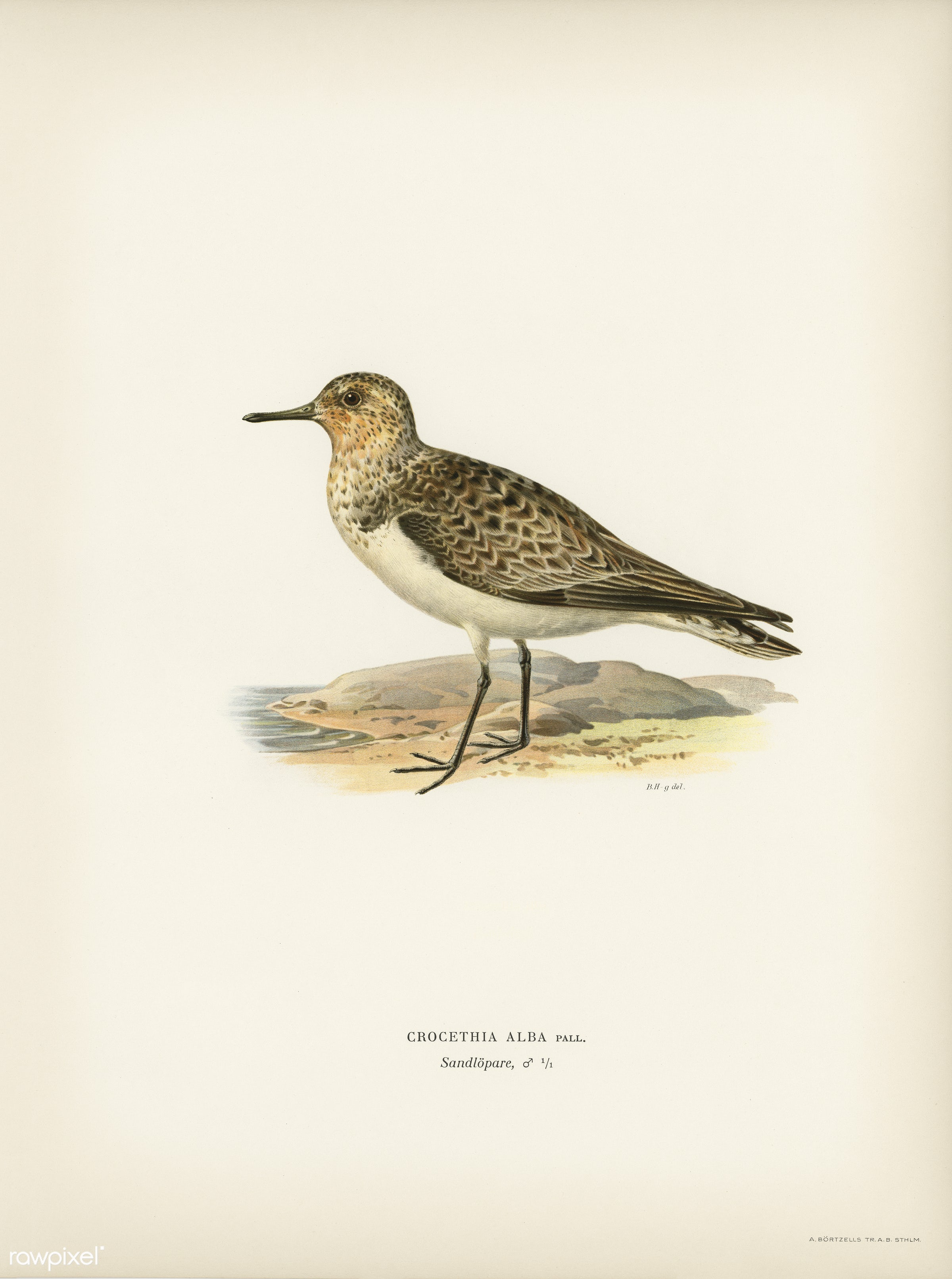 Sanderling (Crocethia alba) illustrated by the von Wright brothers. Digitally enhanced from our own 1929 folio version of...