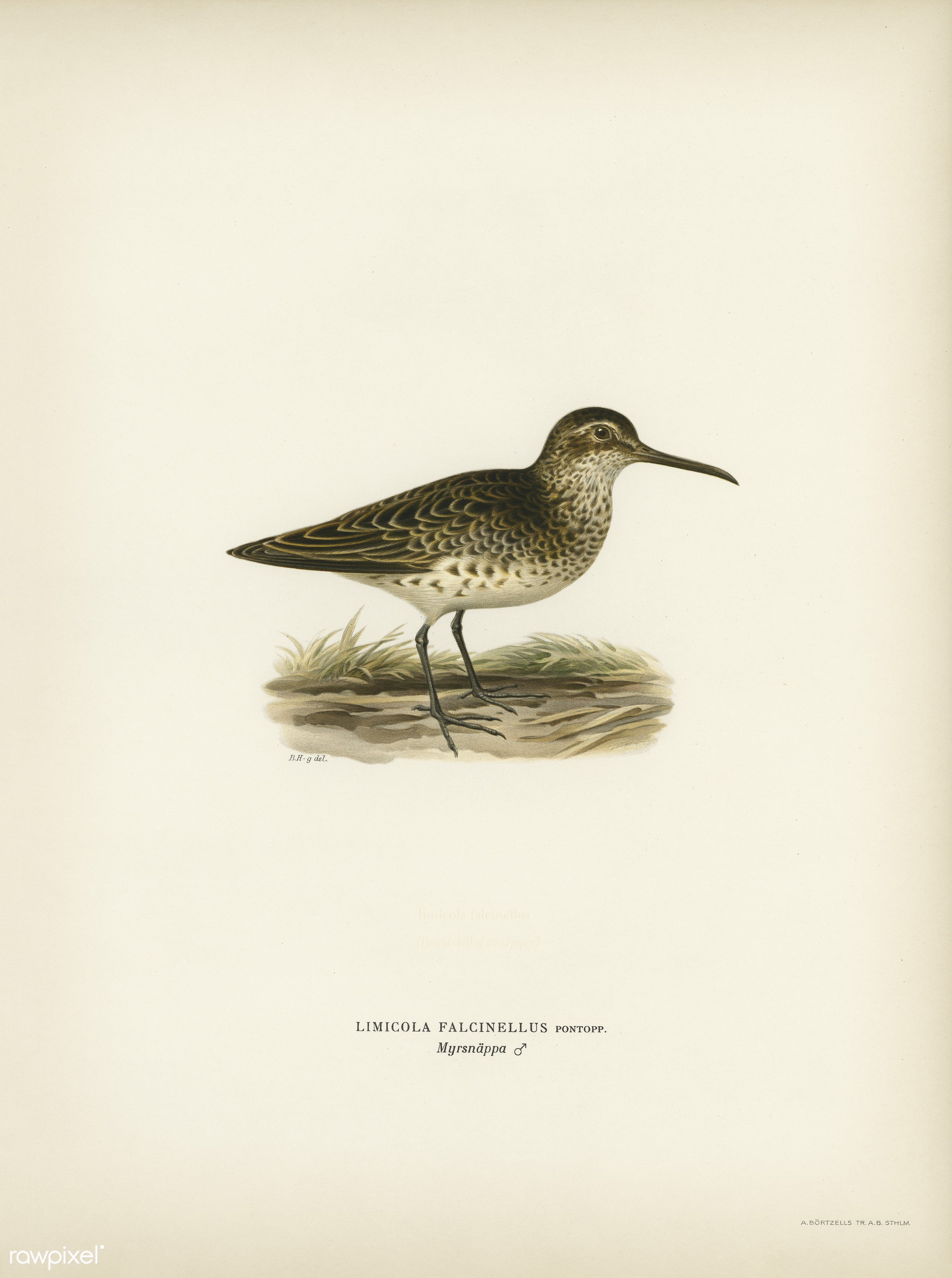 Broad-billed sandpiper (Limicola falcinellus) illustrated by the von Wright brothers. Digitally enhanced from our own 1929...