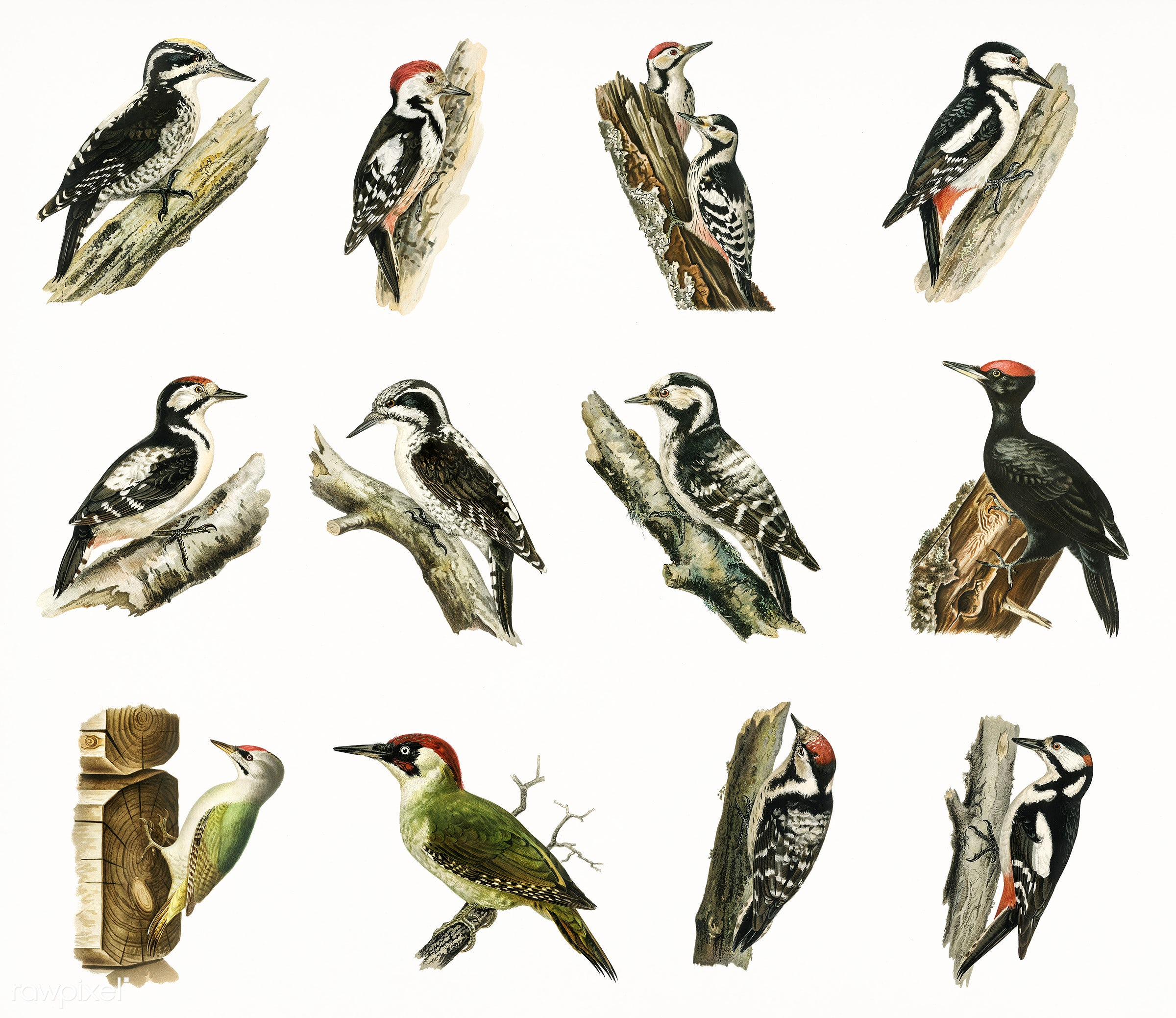 Different types ofbirds illustrated by the von Wright brothers. Digitally enhanced from our own 1929 folio version of...