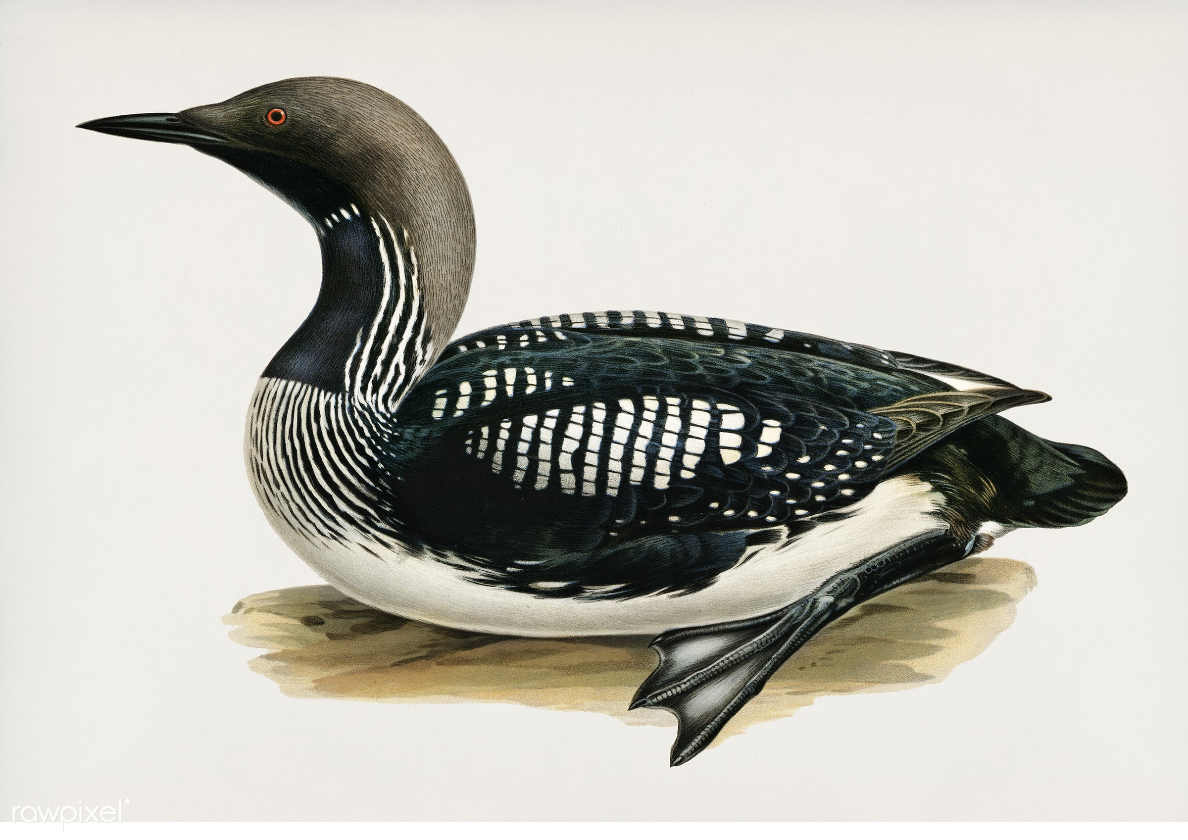 Black-throated loon (Colymbus Arcticus) illustrated by the von Wright brothers. Digitally enhanced from our own 1929 folio...