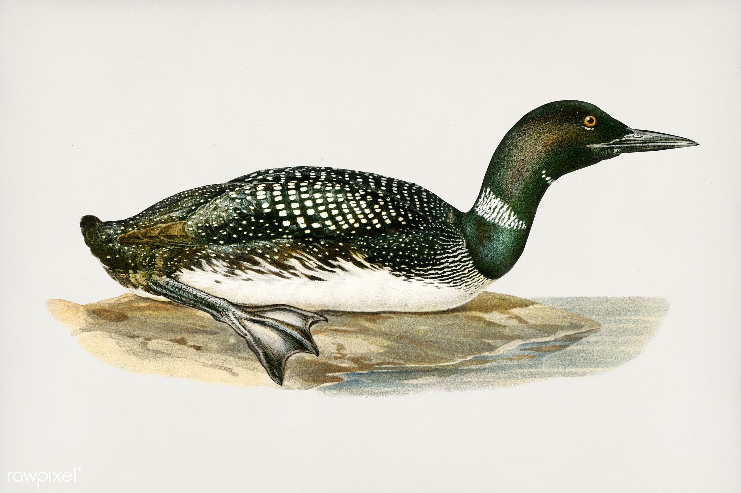 Common loon (Colymbus immer) illustrated by the von Wright brothers. Digitally enhanced from our own 1929 folio version of...