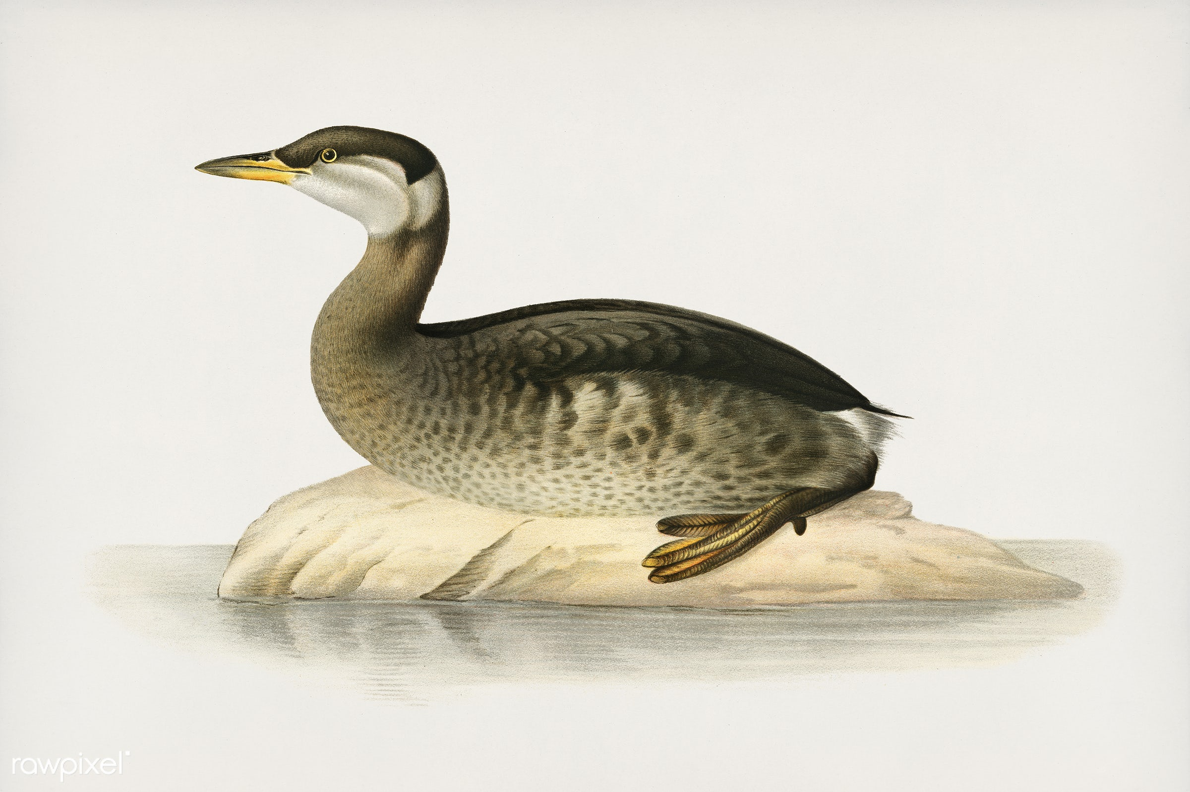 Young red-necked grebe (Podiceps grisegena) illustrated by the von Wright brothers. Digitally enhanced from our own 1929...