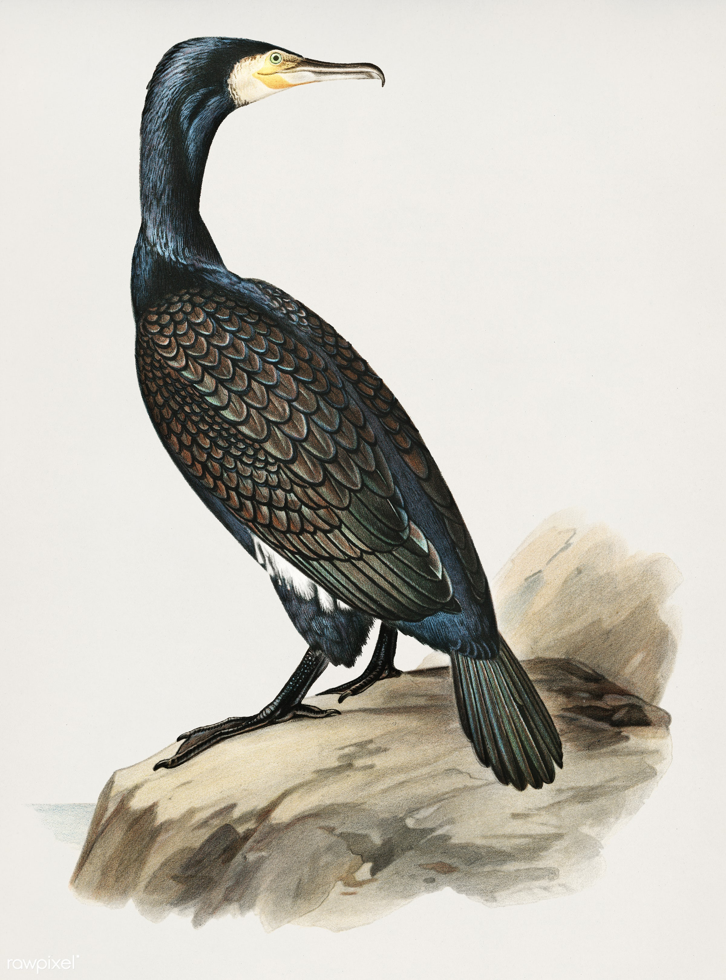 Great cormoran (Phalacrocorax Carbo) illustrated by the von Wright brothers. Digitally enhanced from our own 1929 folio...