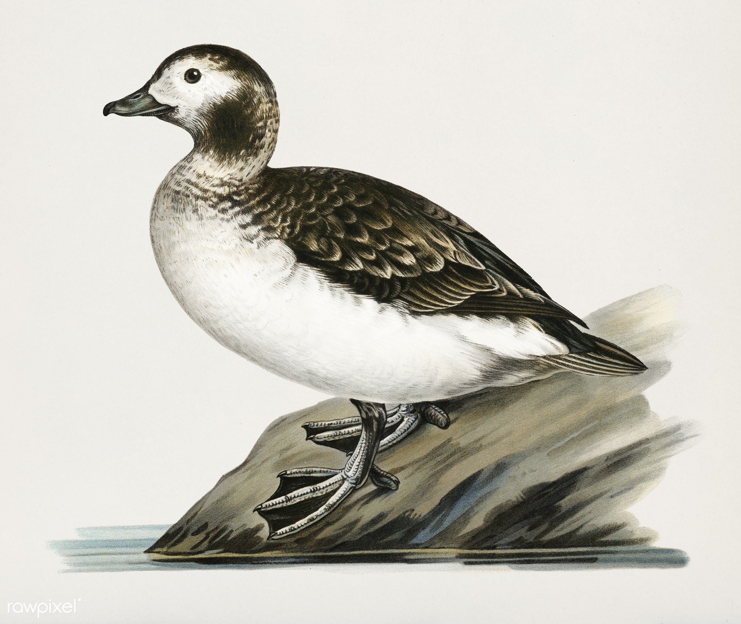 Harelda Hyemalis (Long-tailed Duck female) illustrated by the von Wright brothers. Digitally enhanced from our own 1929...