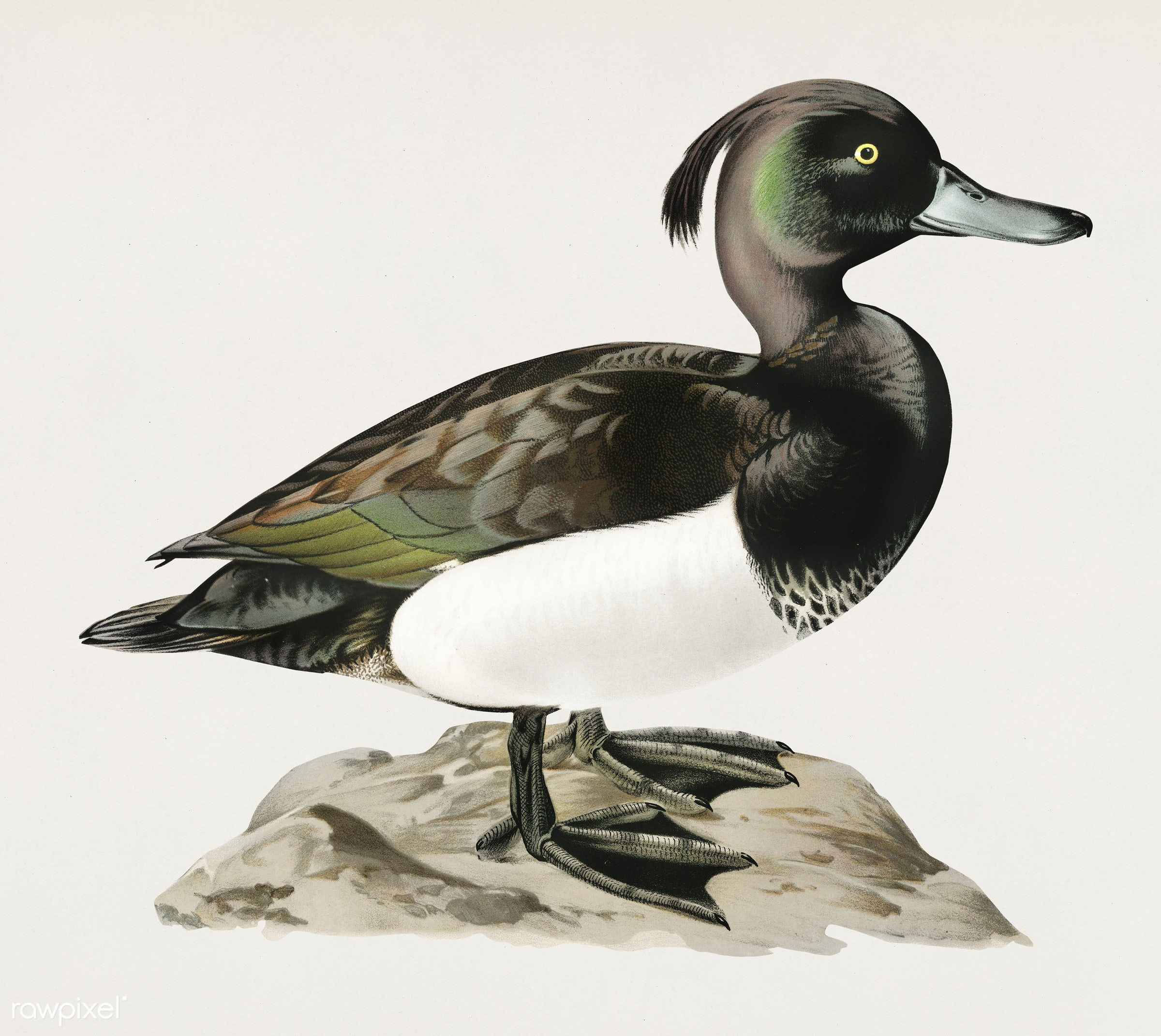 Ferruginous duck male (Nyroca fuligule) illustrated by the von Wright brothers. Digitally enhanced from our own 1929 folio...