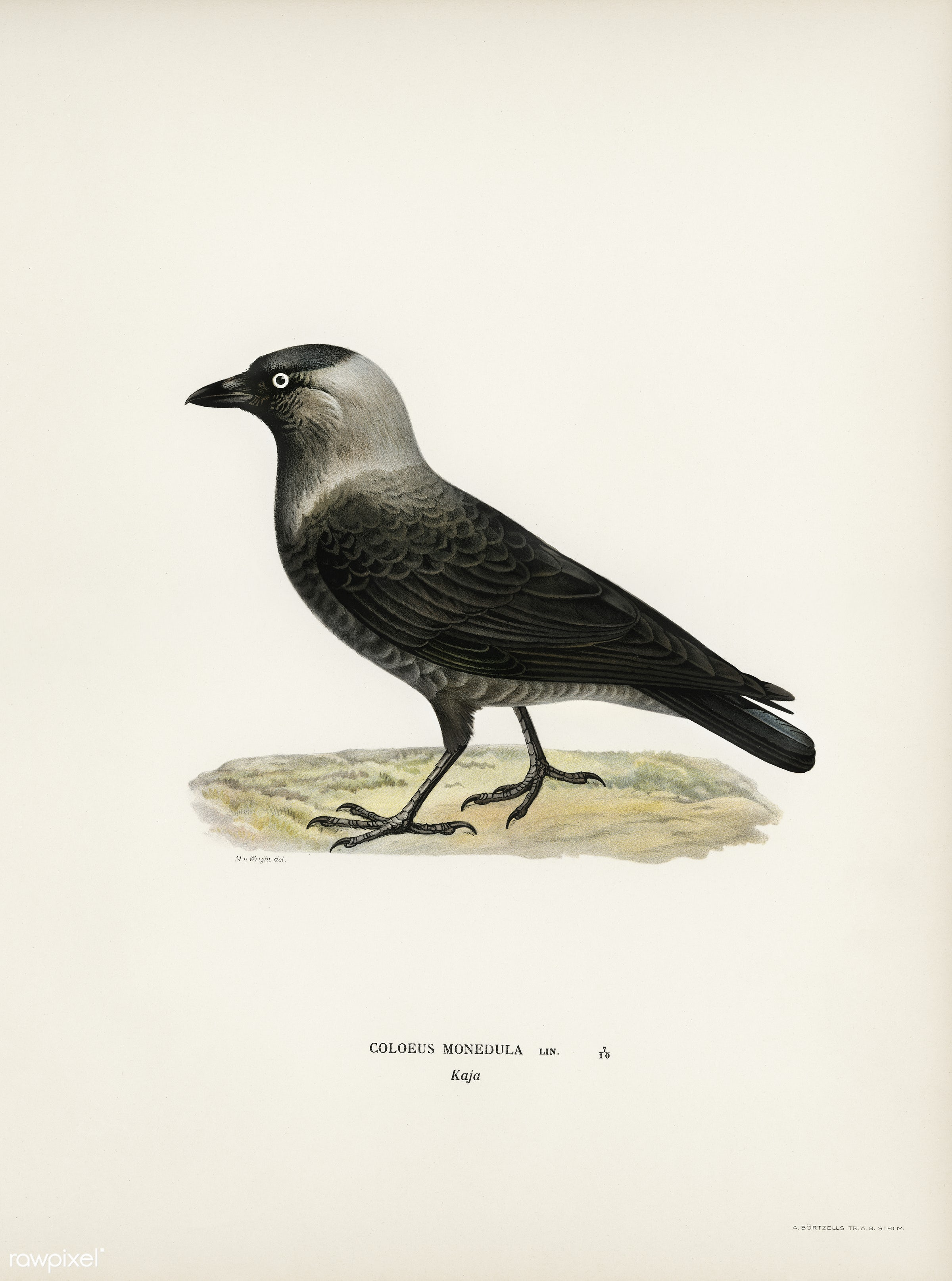 Western jackdaw (Coloeus monedula) illustrated by the von Wright brothers. Digitally enhanced from our own 1929 folio...