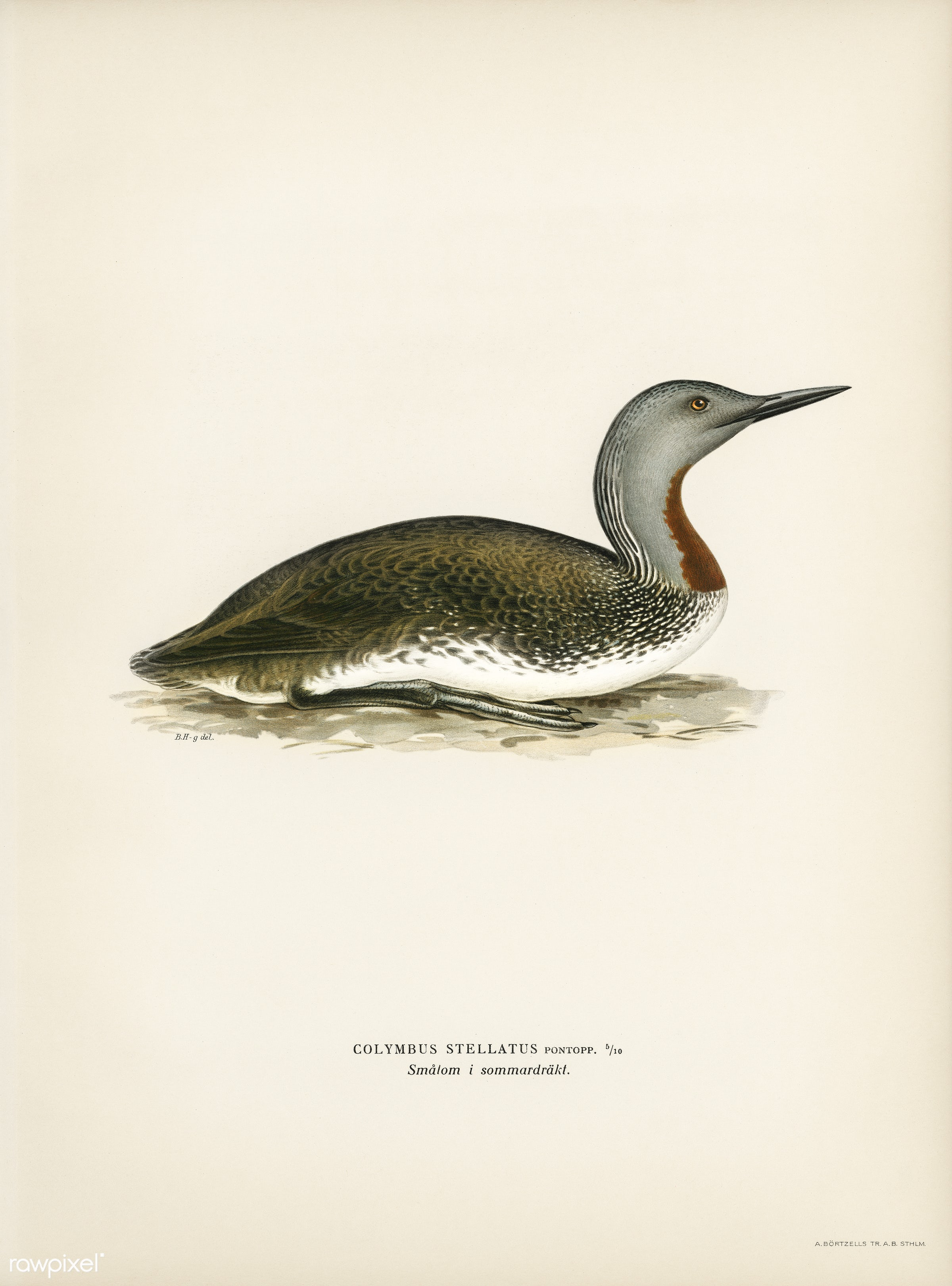 Red-throated loon (Colymbus Stellatus) illustrated by the von Wright brothers. Digitally enhanced from our own 1929 folio...