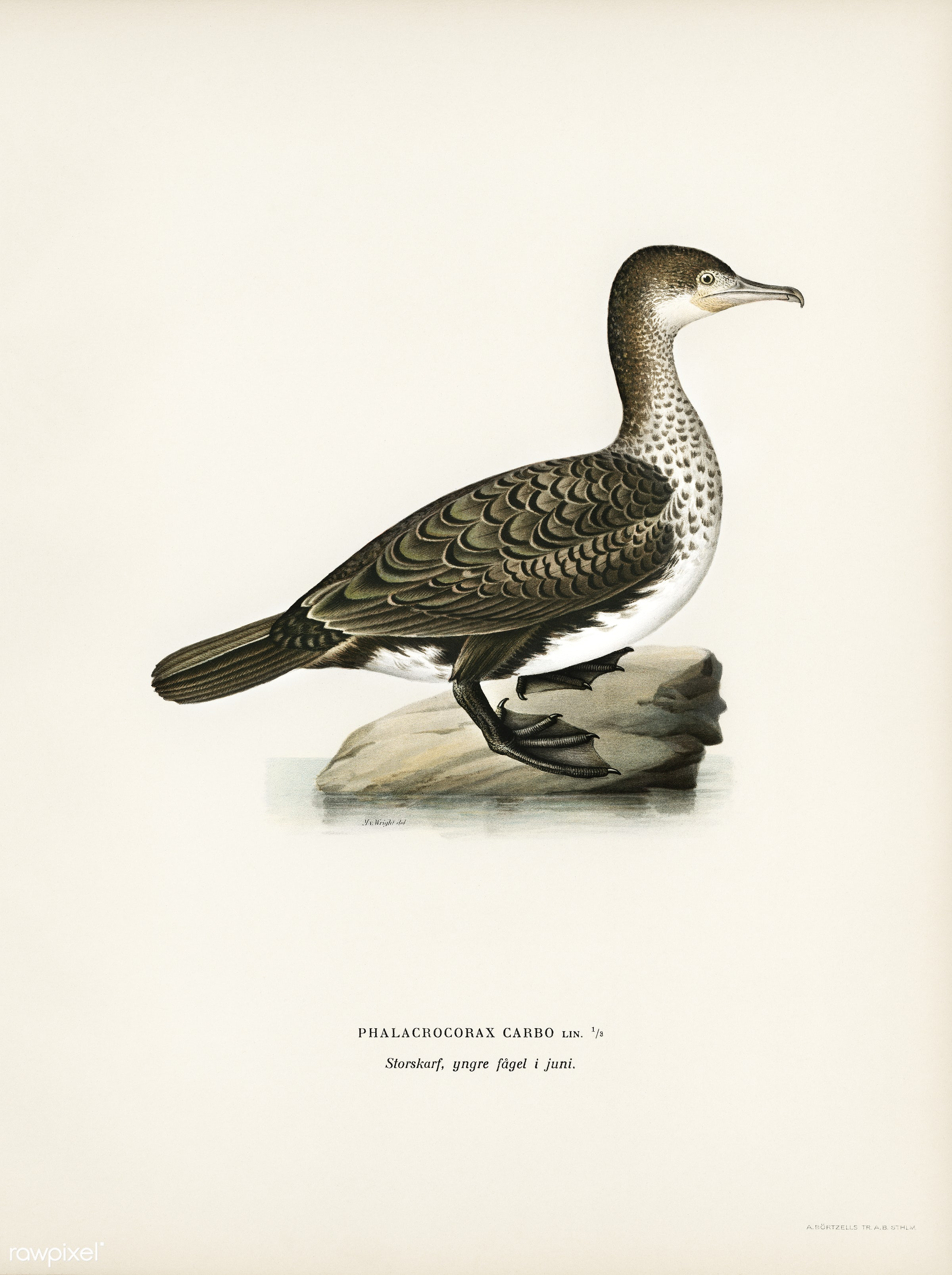 Great cormorant (Phalacrocorax Carbo) illustrated by the von Wright brothers. Digitally enhanced from our own 1929 folio...