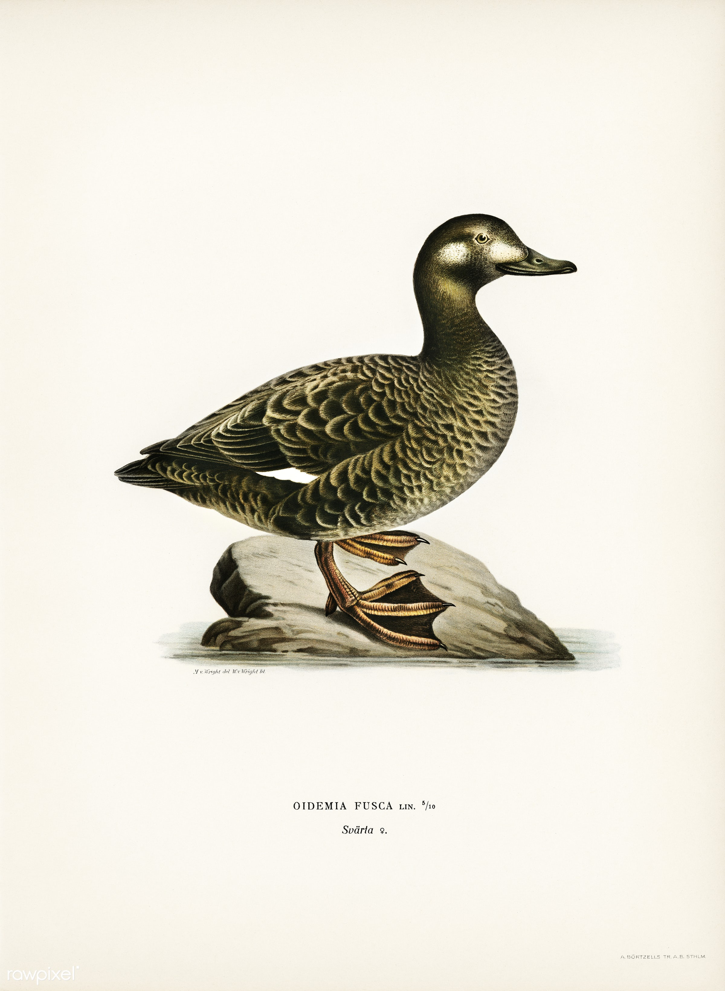 Velvet Scoter female (Oidemia fusca) illustrated by the von Wright brothers. Digitally enhanced from our own 1929 folio...